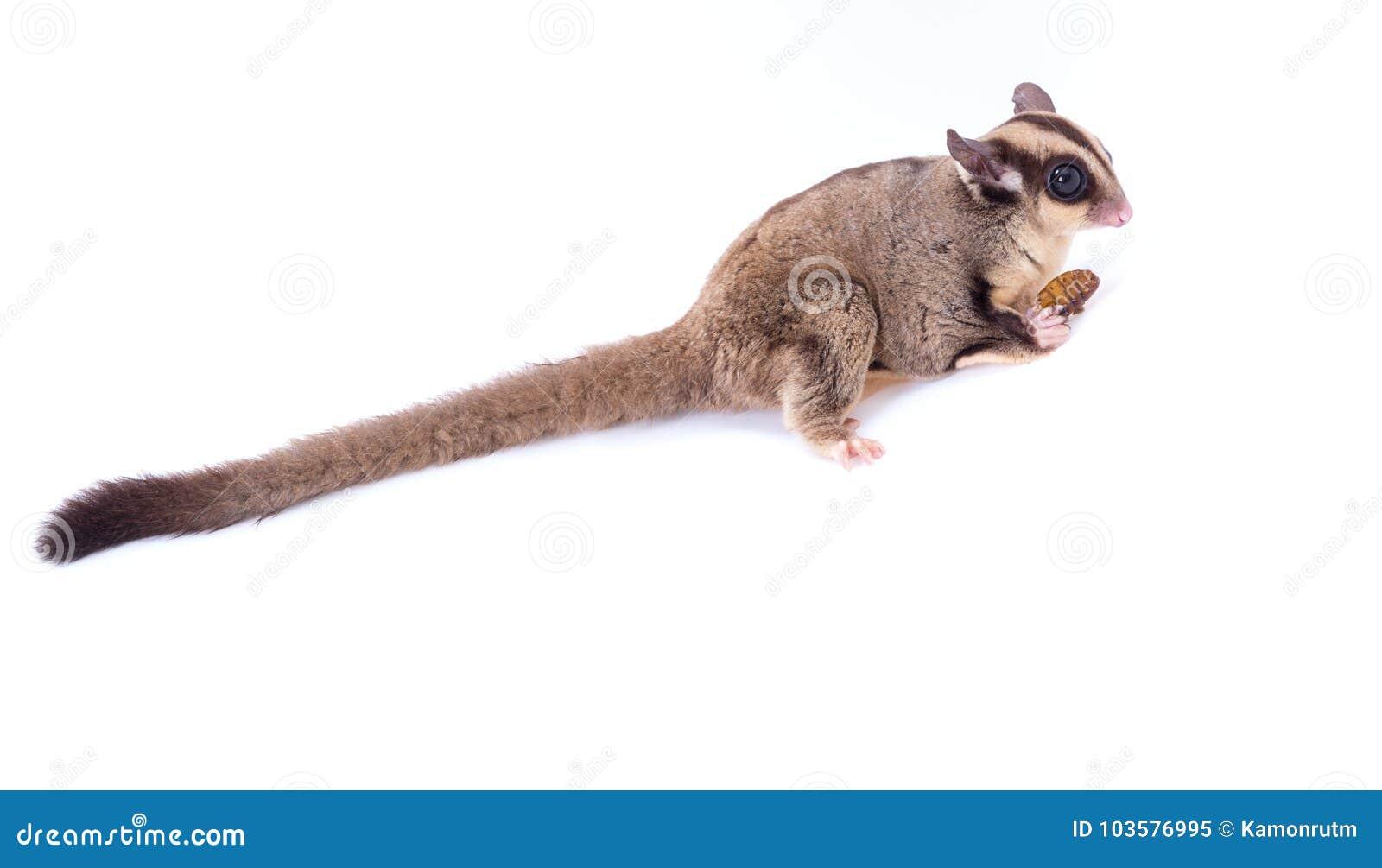 Planeur femelle de sucre mangeant l insecte de rôti sur l isolat de plancher dessus