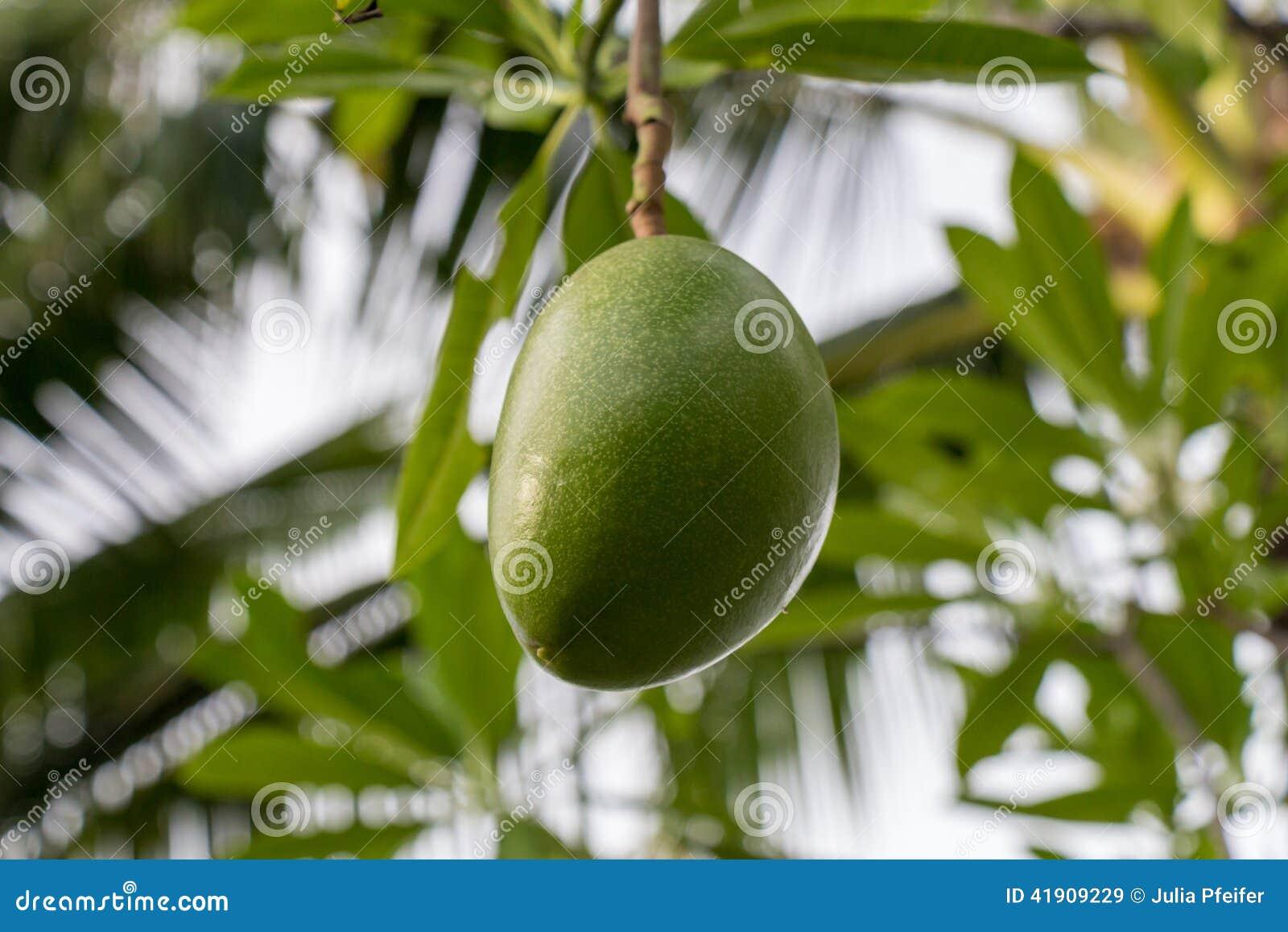 Plantón de frutal verde fresco del mango afuera en verano