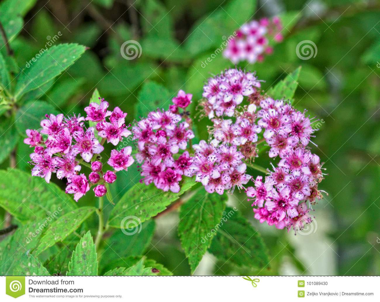 Plant Blooming With Small Pink Flowers Stock Photo Image Of Nature