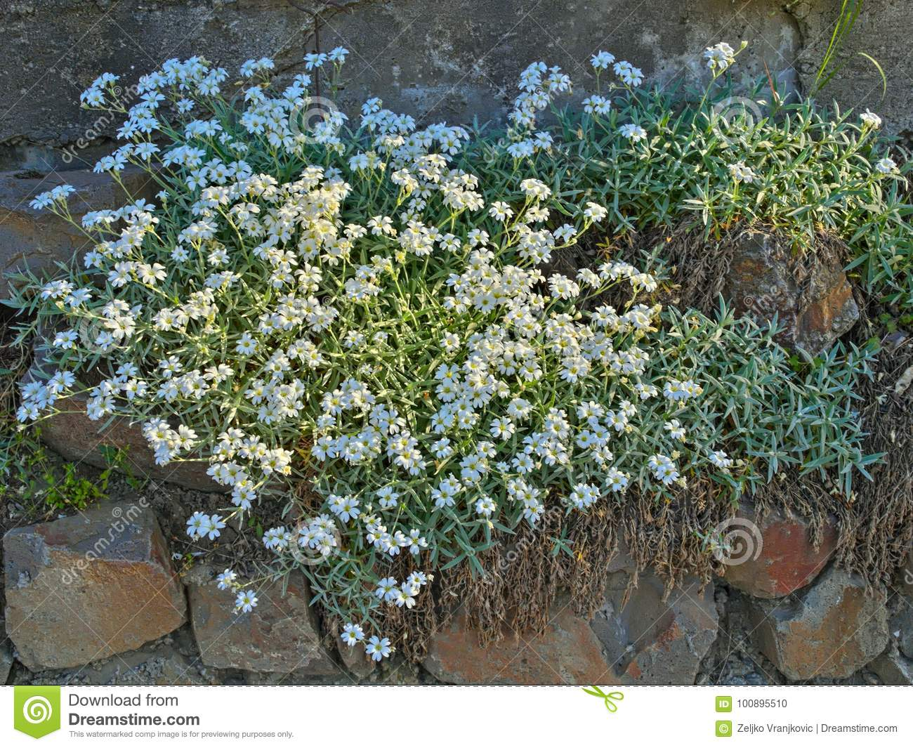 Plant Blooming With Small White Flowers On Rocks Stock Photo Image