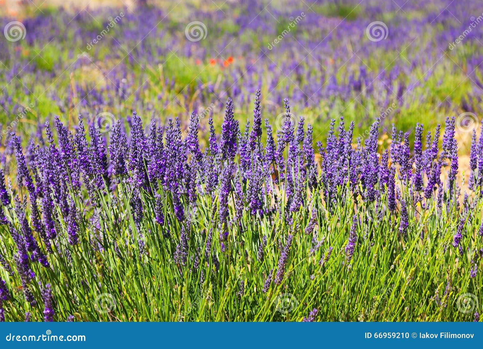 Plant of blue lavender