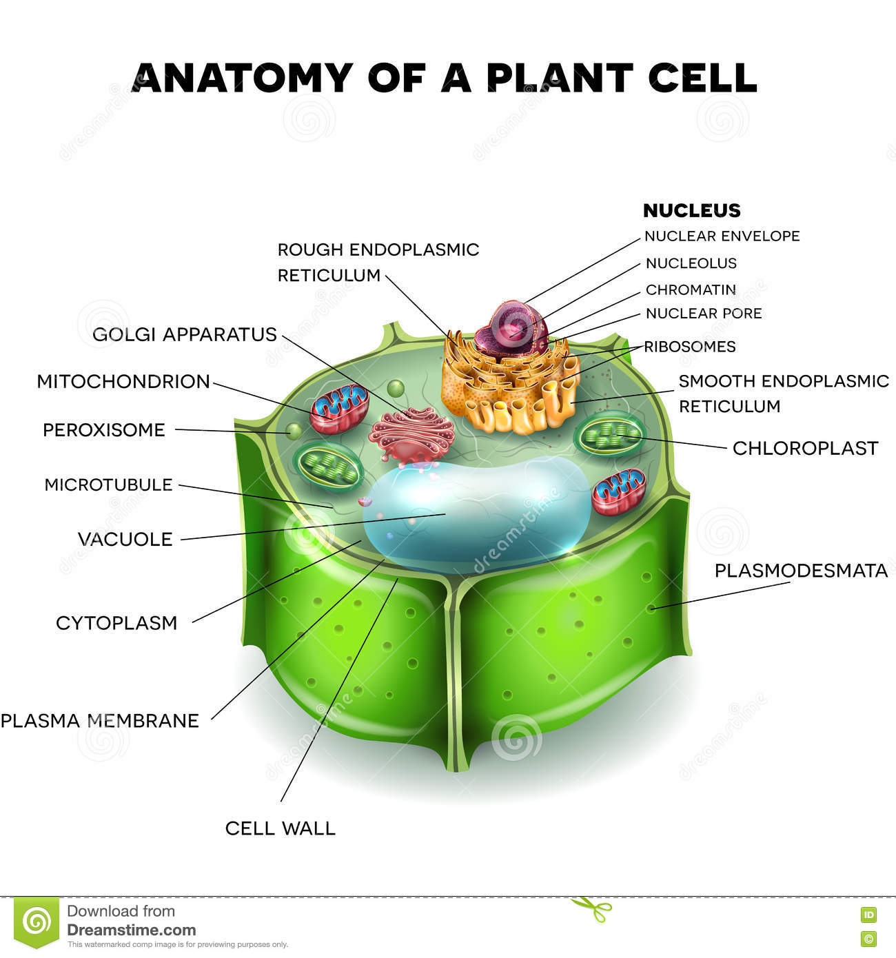 Plant Cell Stock Vector Illustration Of Material Medical 77364430 Structure Diagram