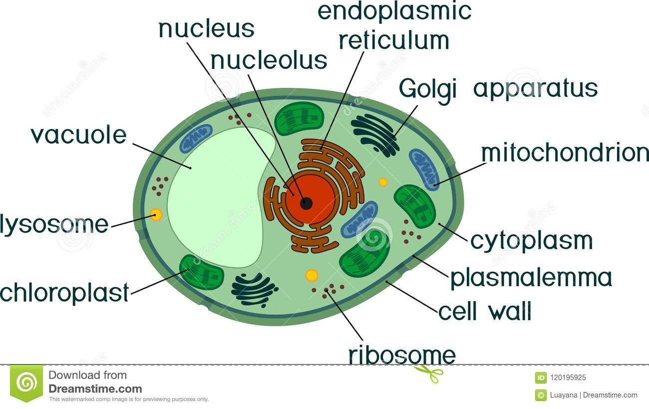 Plant Cell Structure With Titles Stock Vector ...