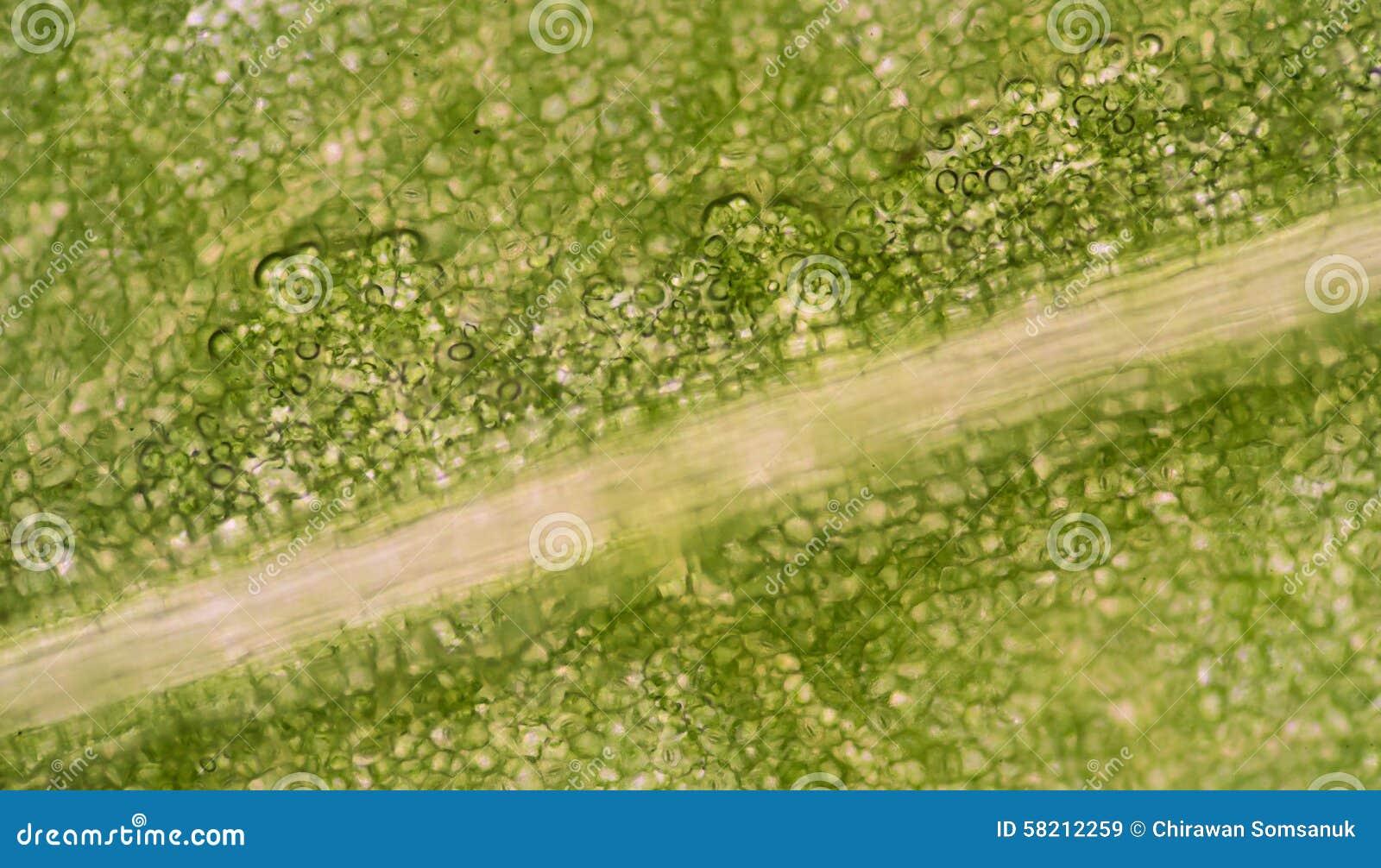 Plant Cells Under Microscope Stock Photo - Image: 58212259