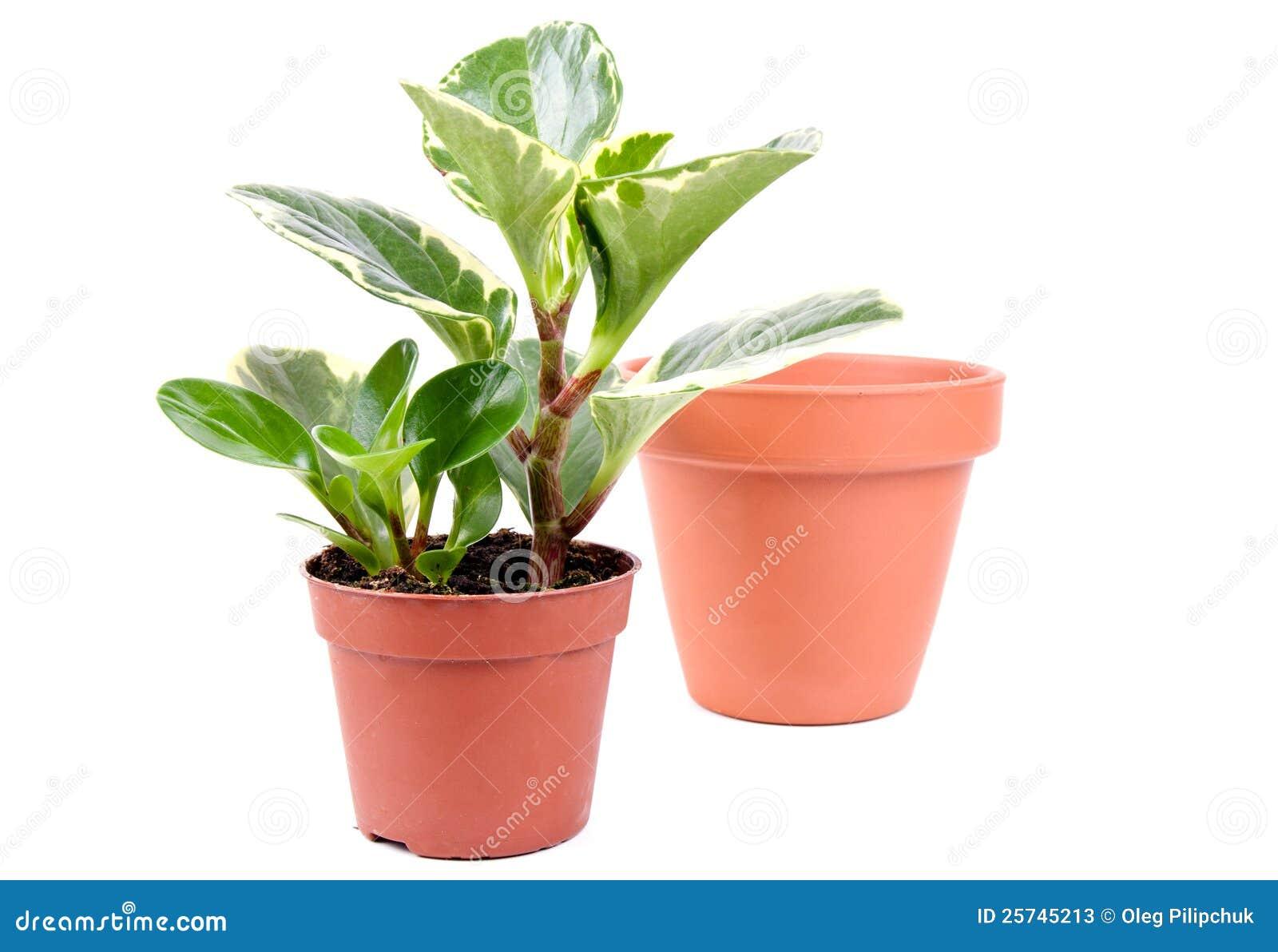 Plant in ceramic flower pot