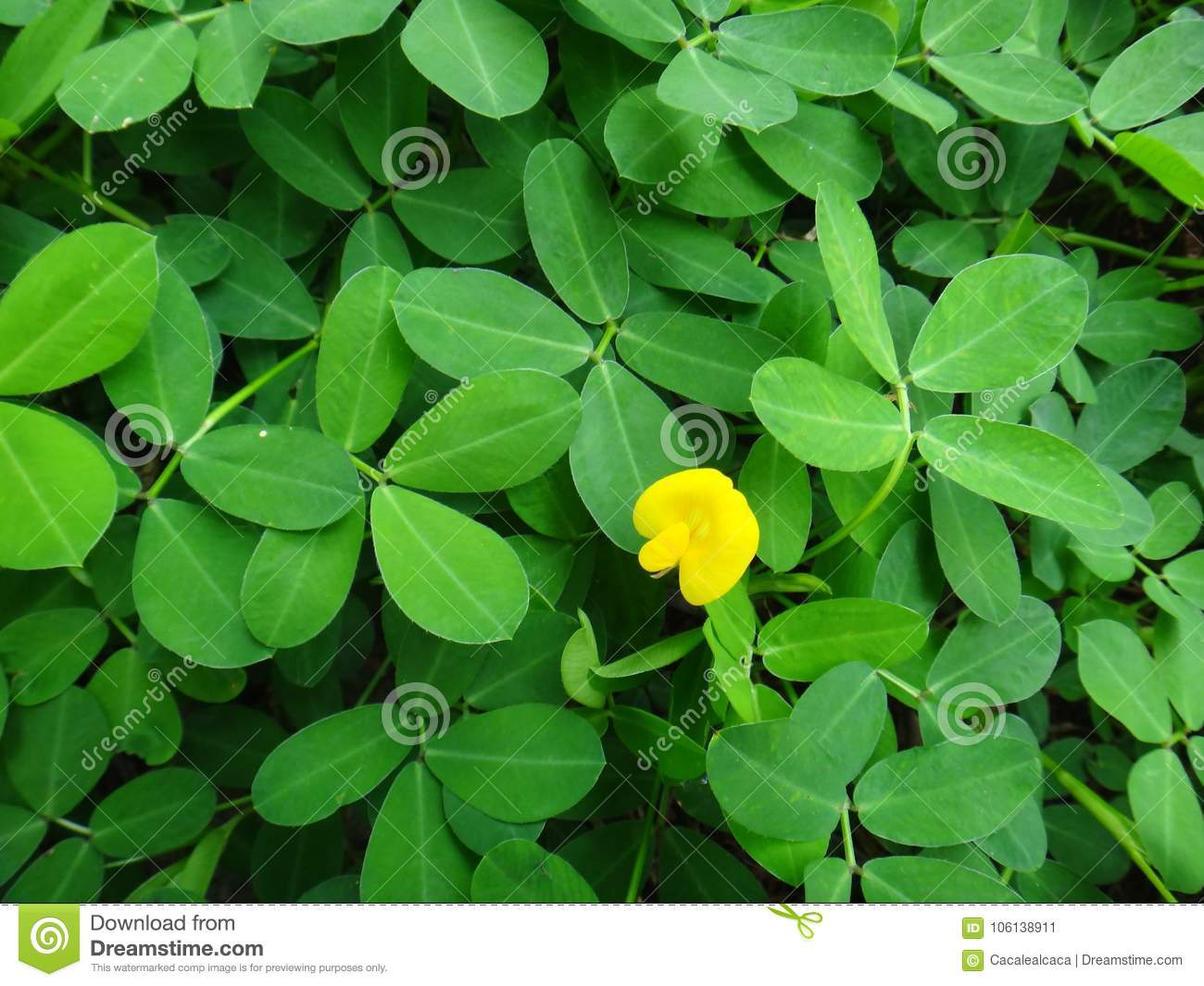 Plant Of The Creeping Peanut With Small Yellow Flower Stock Image