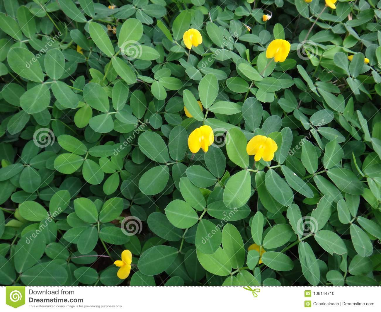 Plant of the creeping peanut with small yellow flowers stock photo download comp mightylinksfo