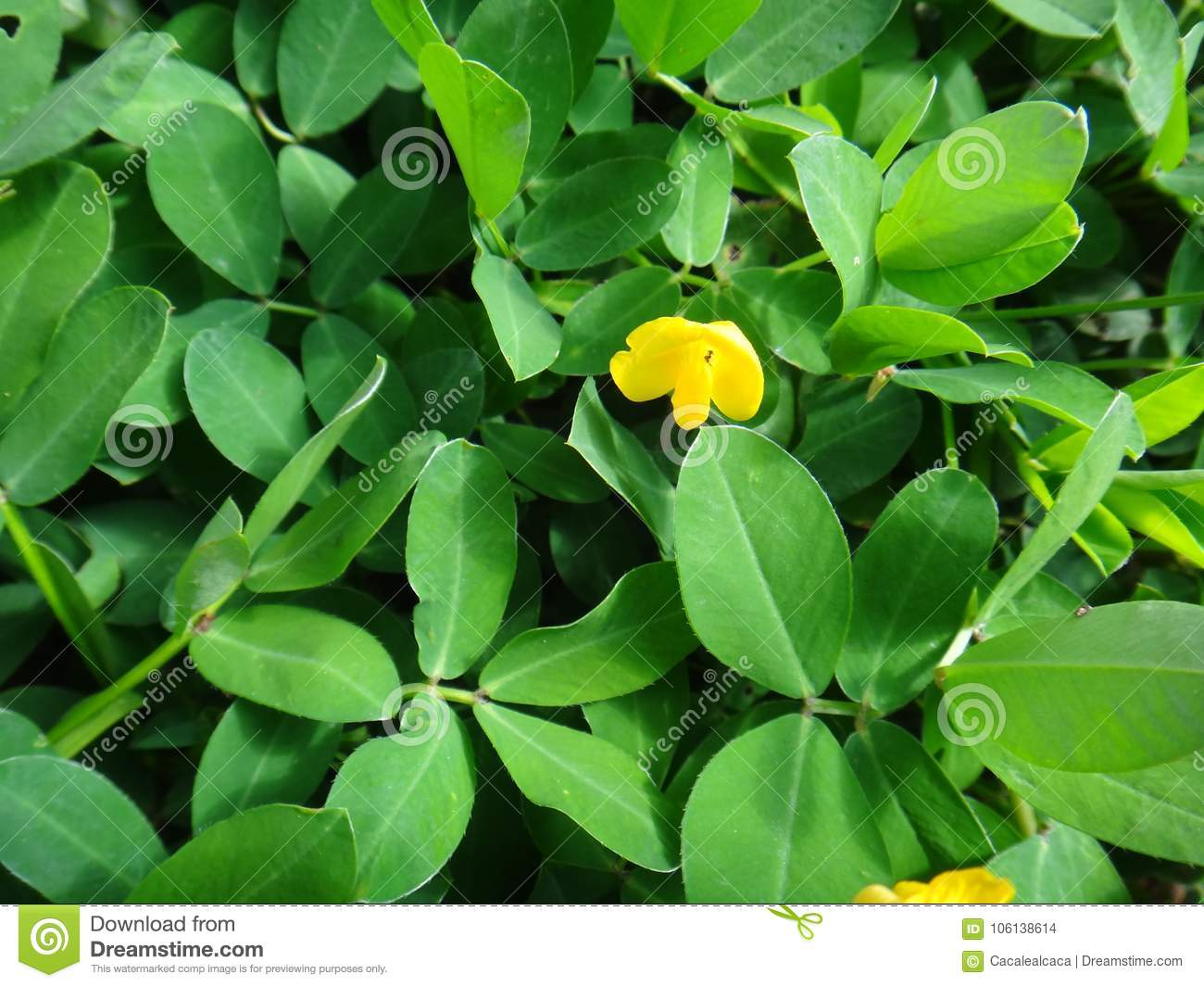 Plant Of The Genus Arachis With Pale To Lemon Yellow Pea Type Flower
