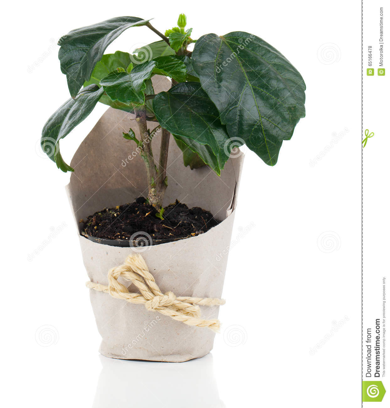 Plant For Gift In Paper Packaging Stock Photo Image Of Flowerpot