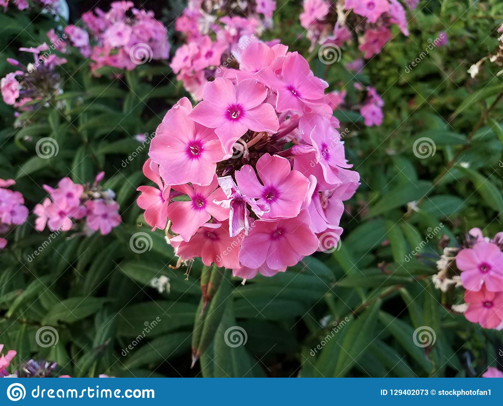 Plant with green leaves and pink flowers. A plant with green leaves and pink flowers stock photos