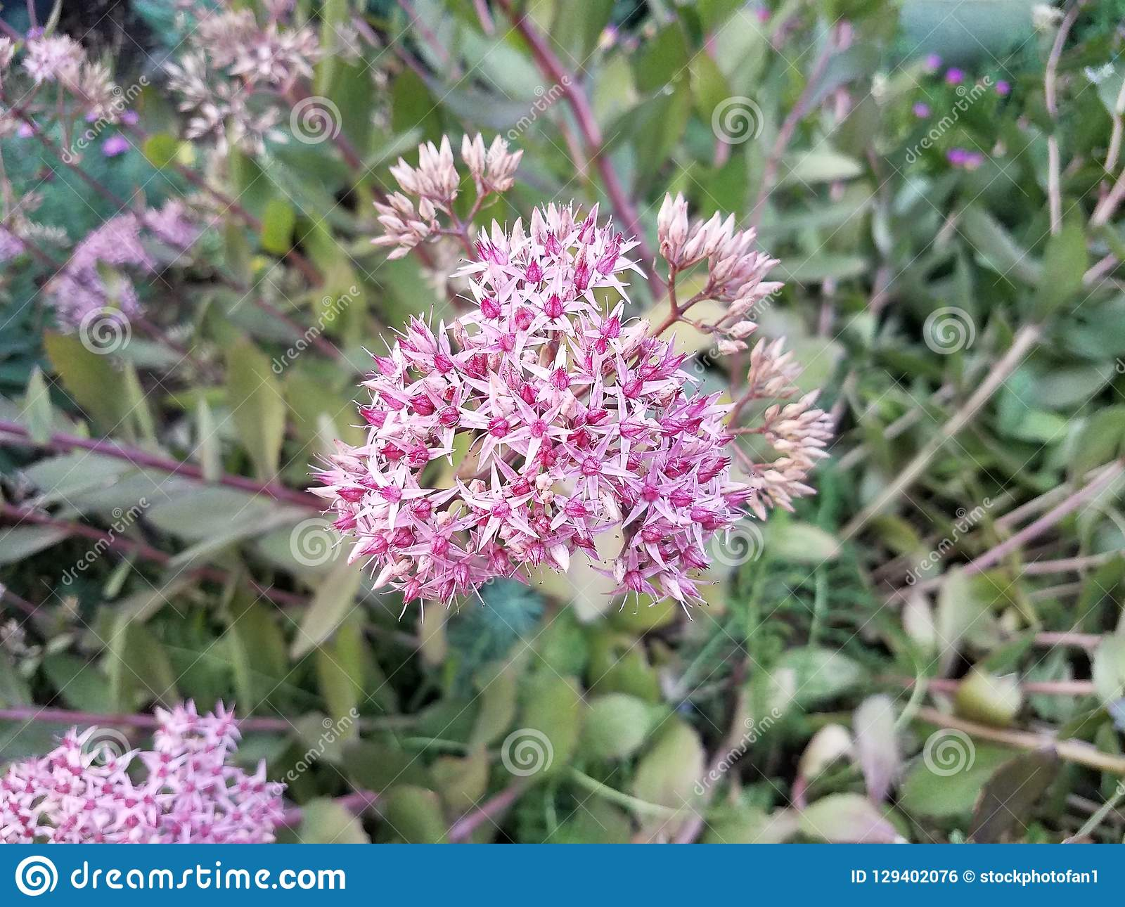 Plant with green leaves and pink flowers. A plant with green leaves and pink flowers royalty free stock image