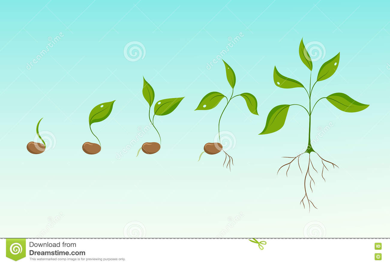 Bean Seed Germination Stock Illustrations 164 Diagram Plant Growth Evolution From To