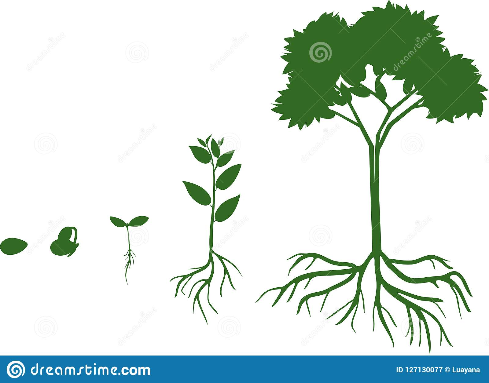Plant Growth Stage From Seed To Adult Tree With Root System