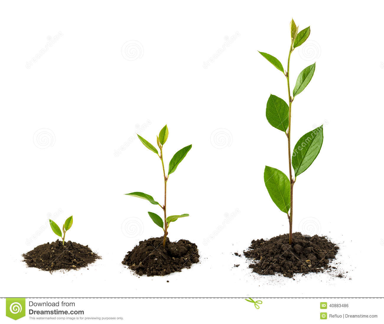 mustard seed plant pictures