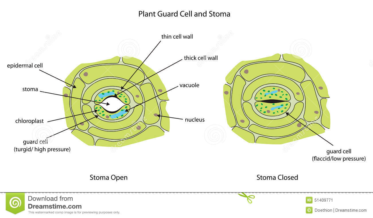 Plant Guard Cells With Stoma Fully Labeled. Stock Illustration - Image ...