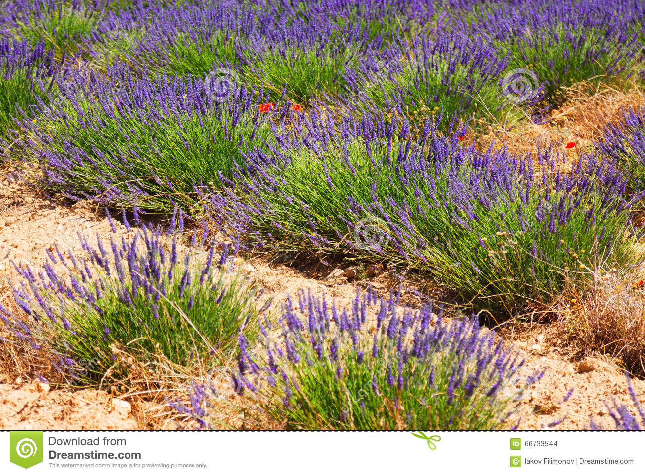 Plant of lavender at field i