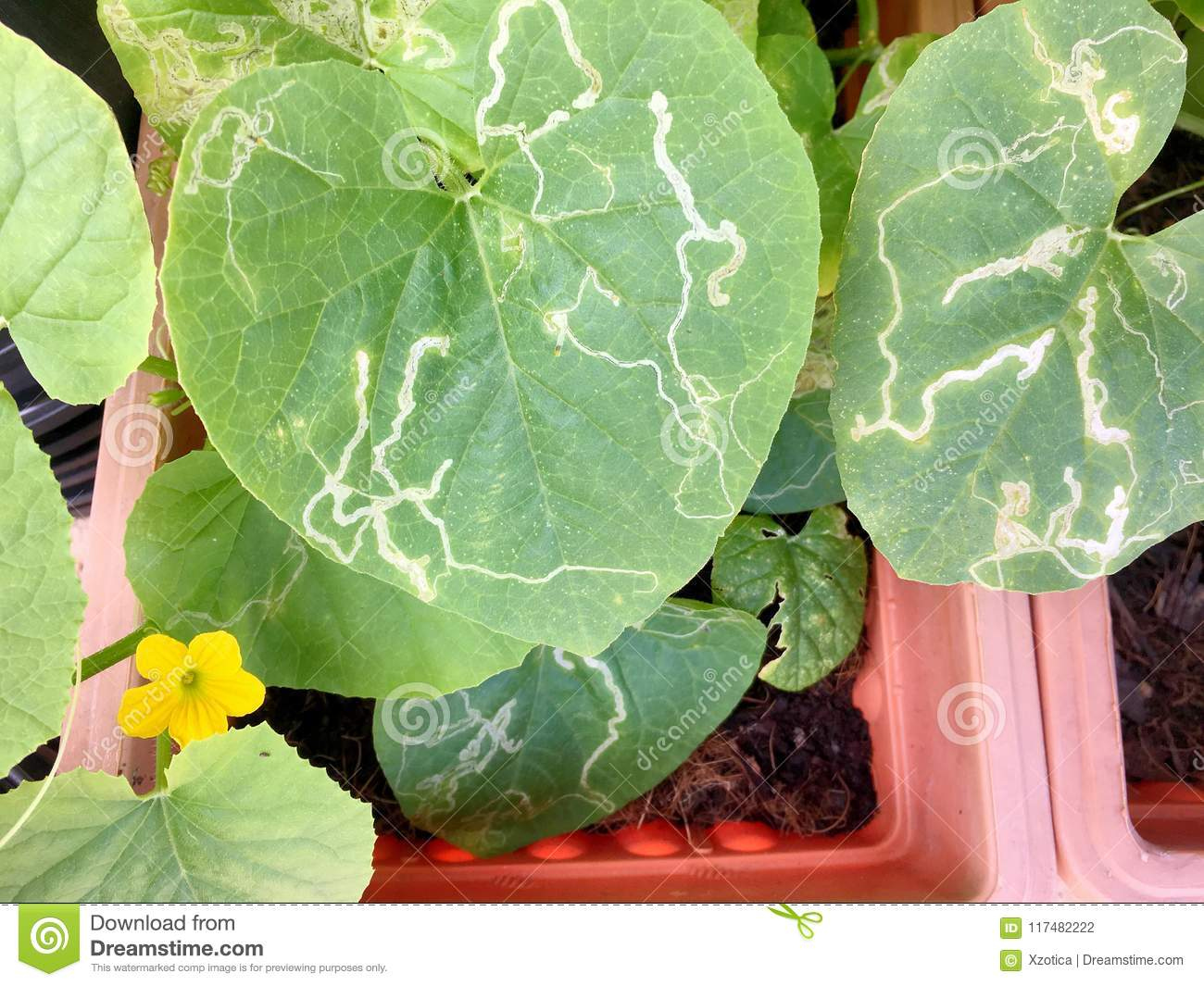 Watermelon Plant Leaves Pictures