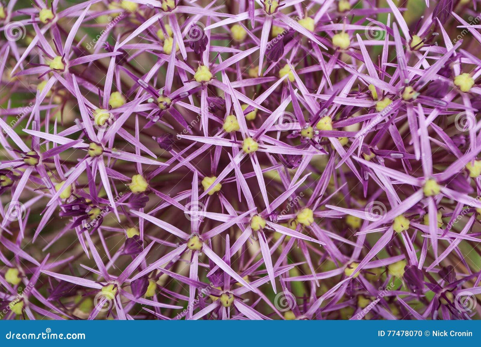 Plant Life 92 Stock Photo Image Of Tiny Allium Shaped 77478070