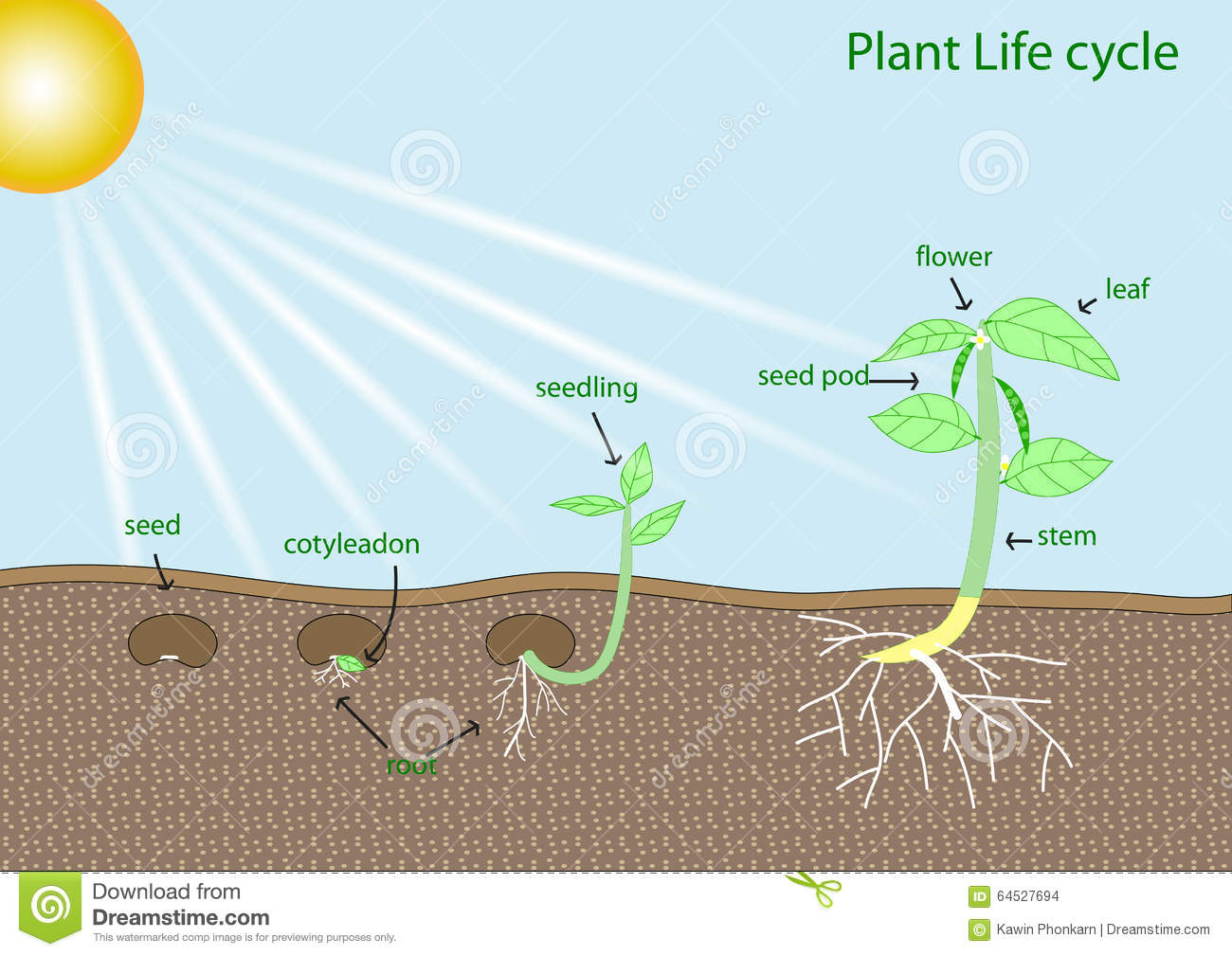 Plant life cycle stock vector. Image of element, seed ...