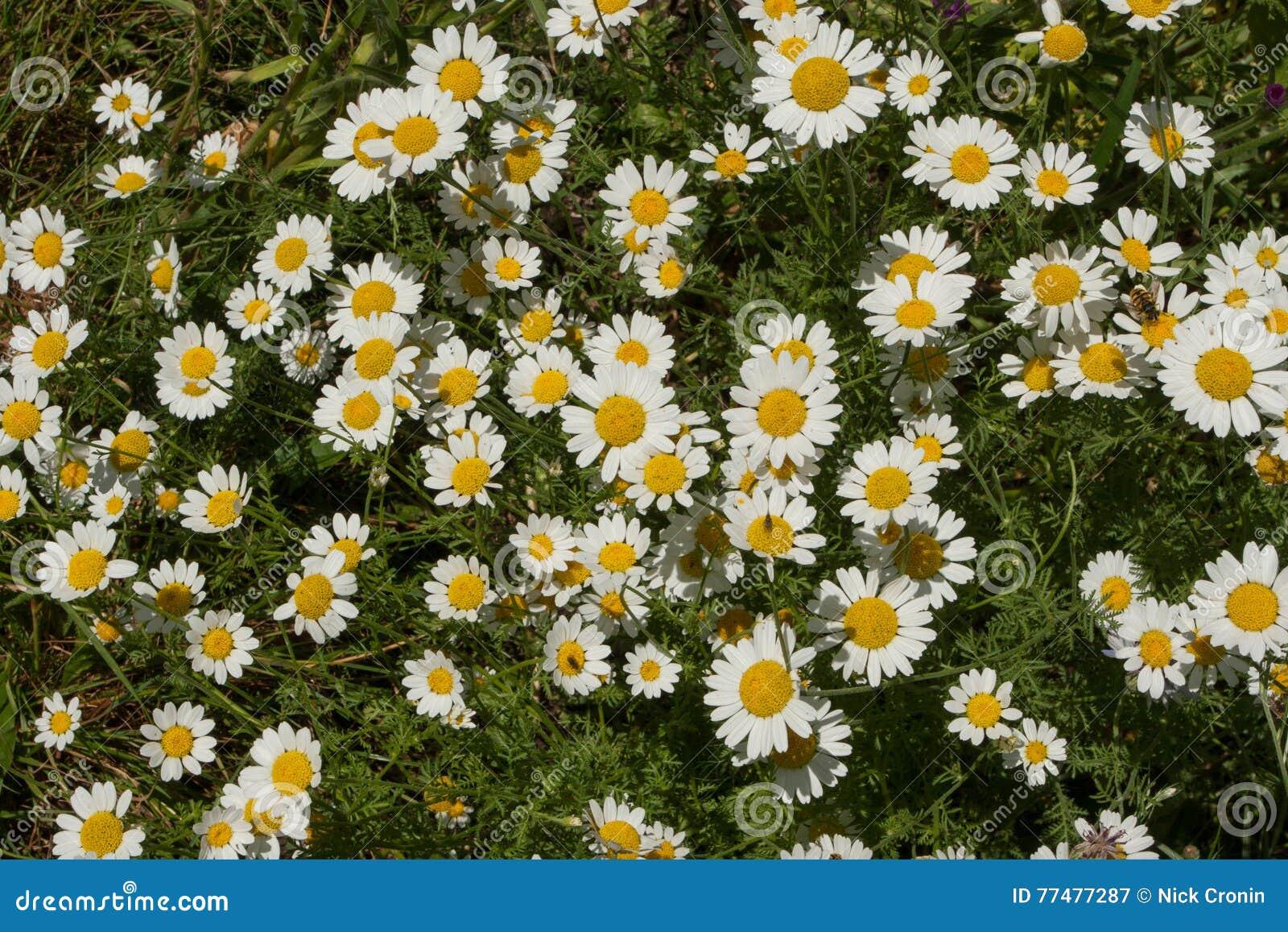 Plant life 95 stock image image of pyrethrum yellow 77477287 download comp izmirmasajfo
