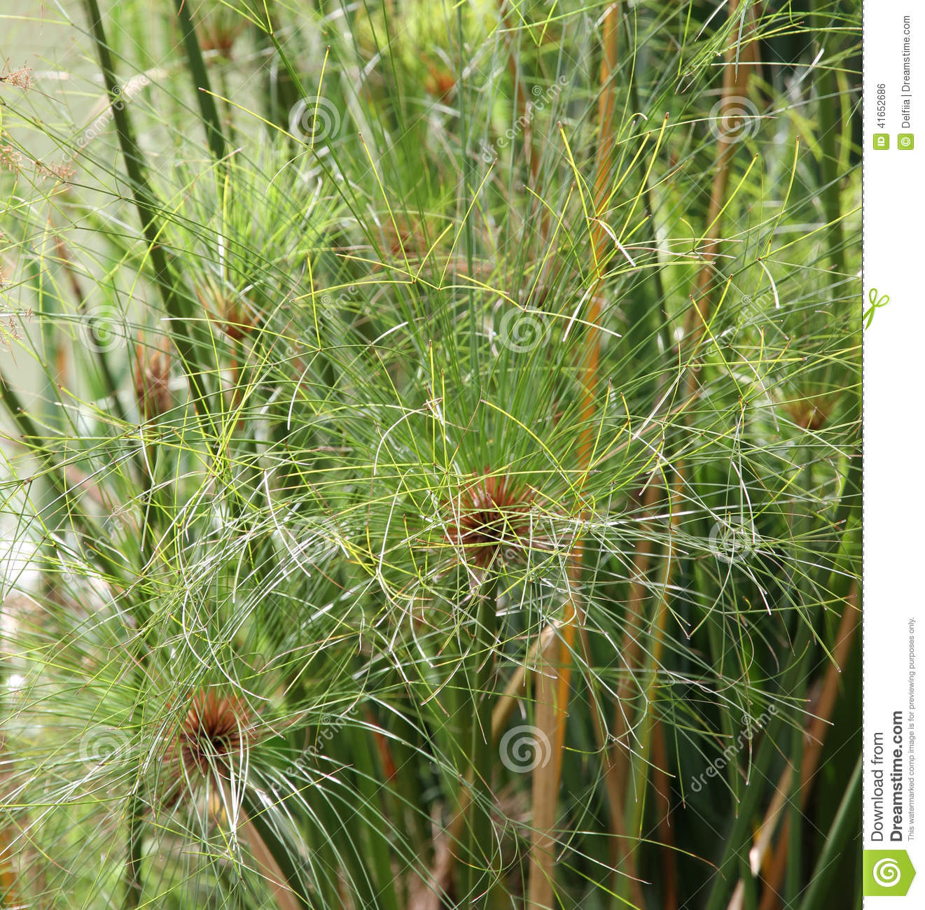 Plant papyrus in the japanese garden stock photo image for Dream plants for the natural garden
