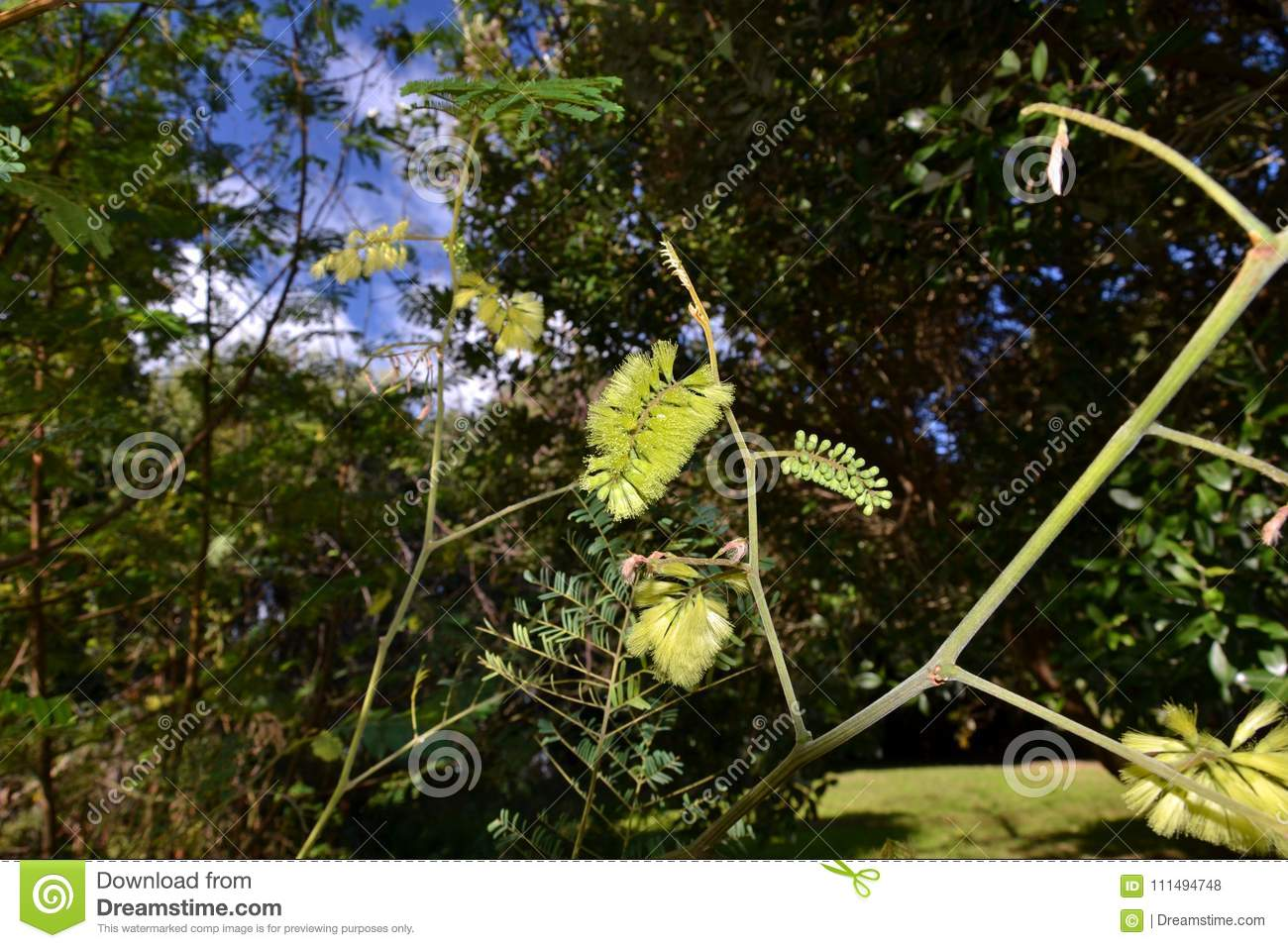 paraserianthes lophantha stock photo image of green 111494748