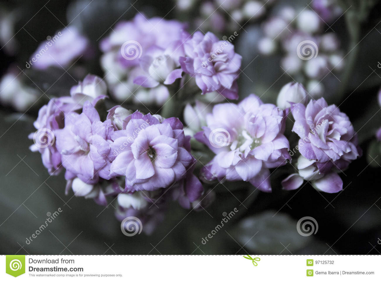 Plant With Pink Flowers Stock Photo Image Of Vase Nature 97125732
