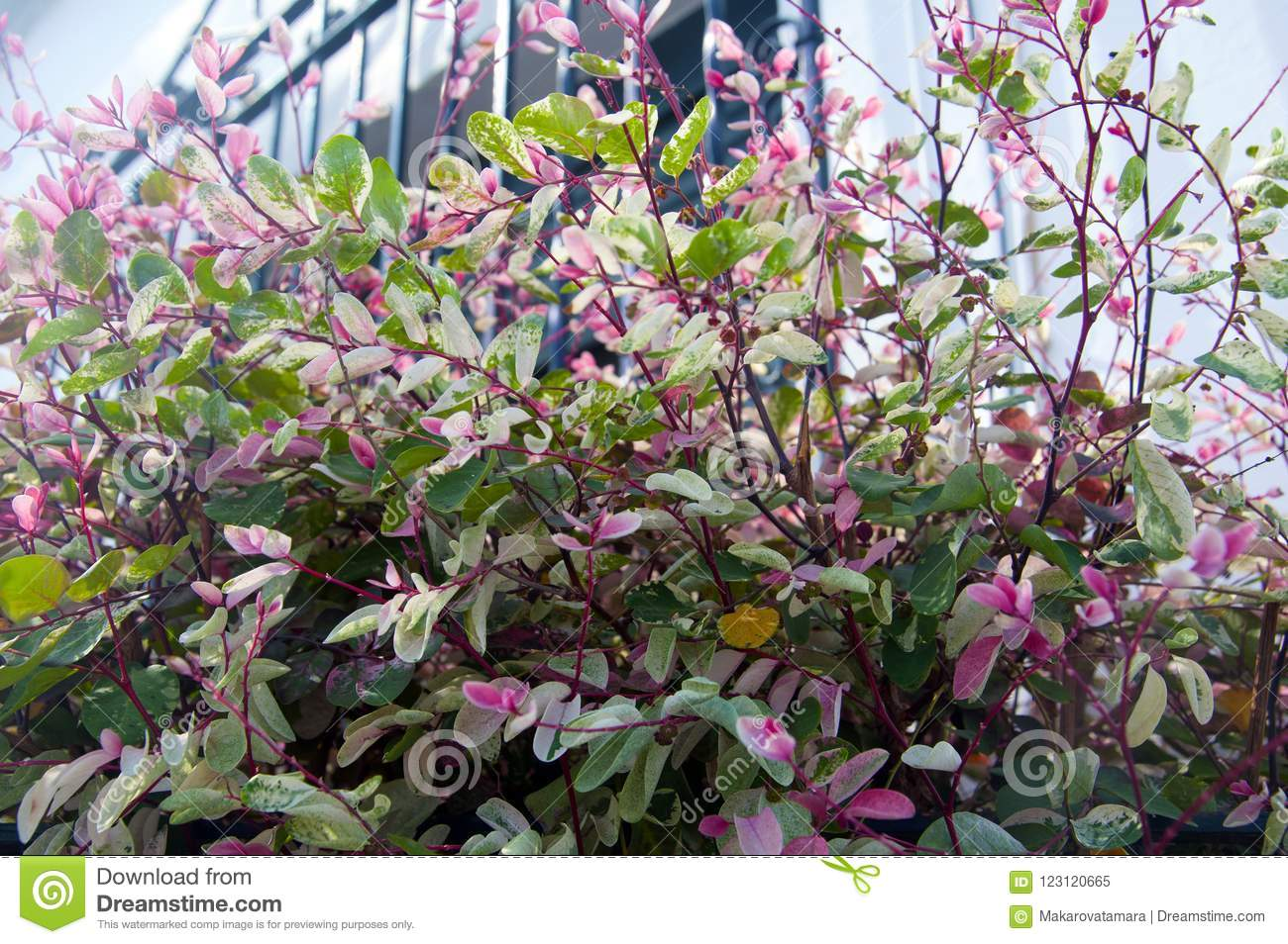 Plant With Pink And Green Small Leaves Summer Stock Image Image