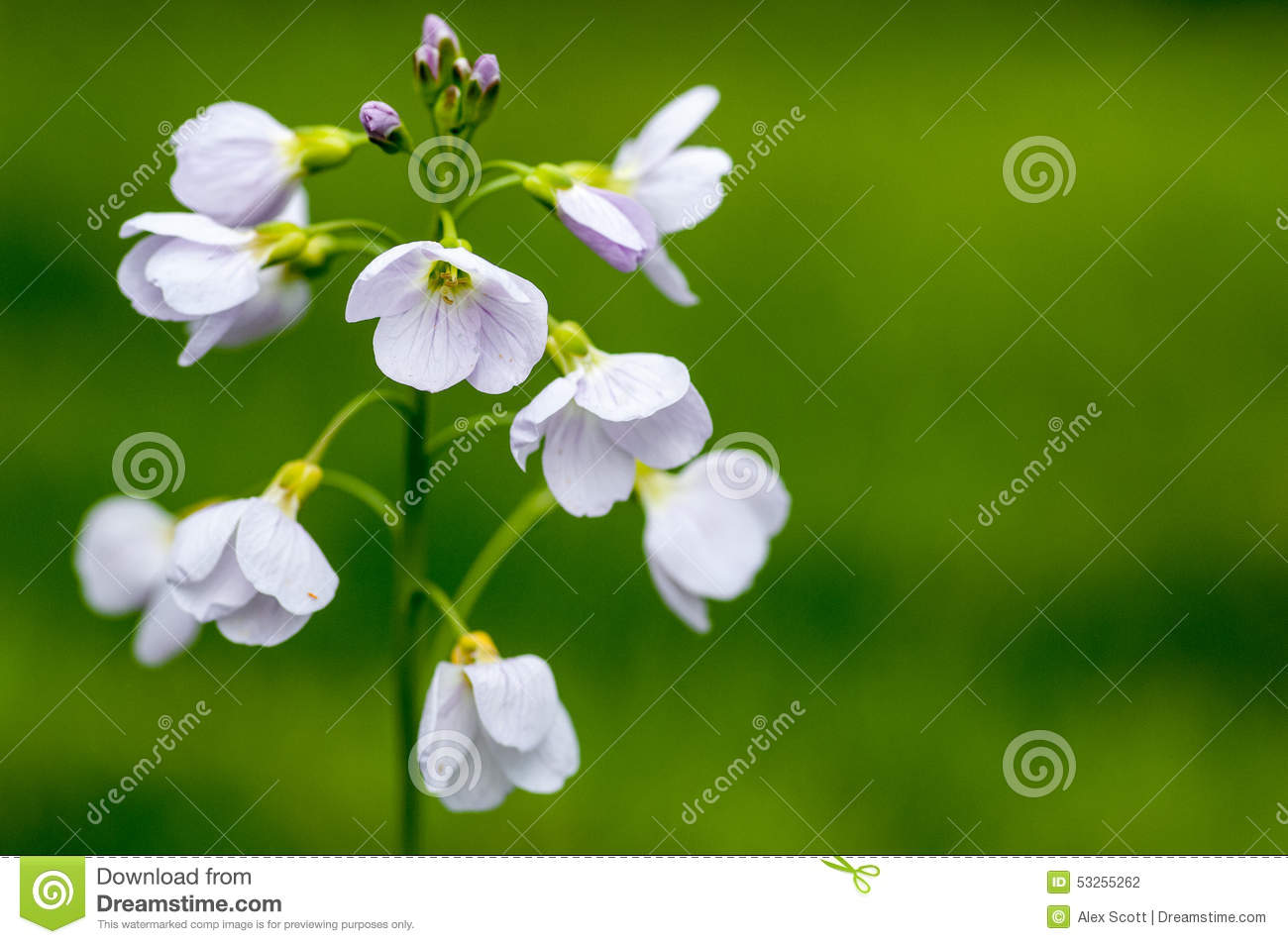 Plant portrait ladys smock stock photo image of flower cuckoo download plant portrait ladys smock stock photo image of flower cuckoo 53255262 izmirmasajfo