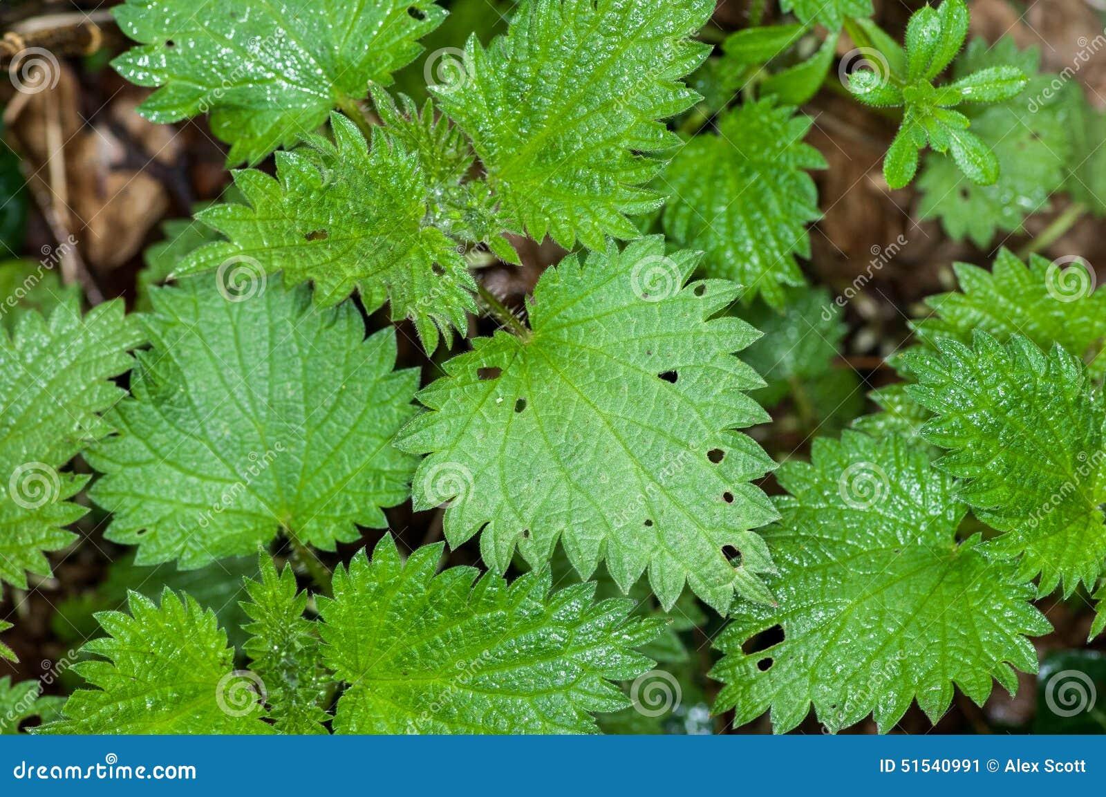 Plant portrait stinging nettle