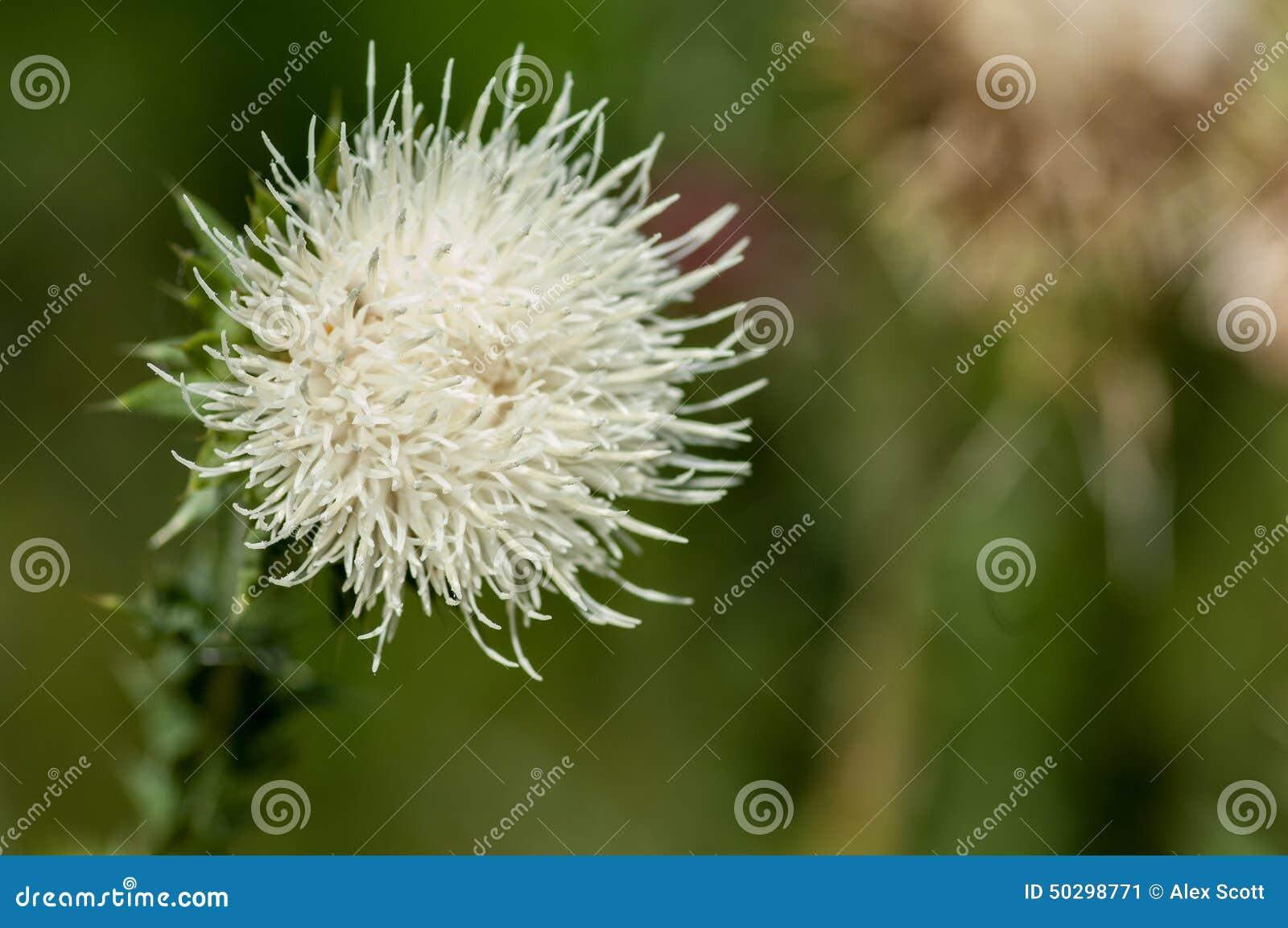 Plant portrait welted thistle stock image image of thistle native plant portrait welted thistle carduus crispus uncommon white flower on grassland mightylinksfo