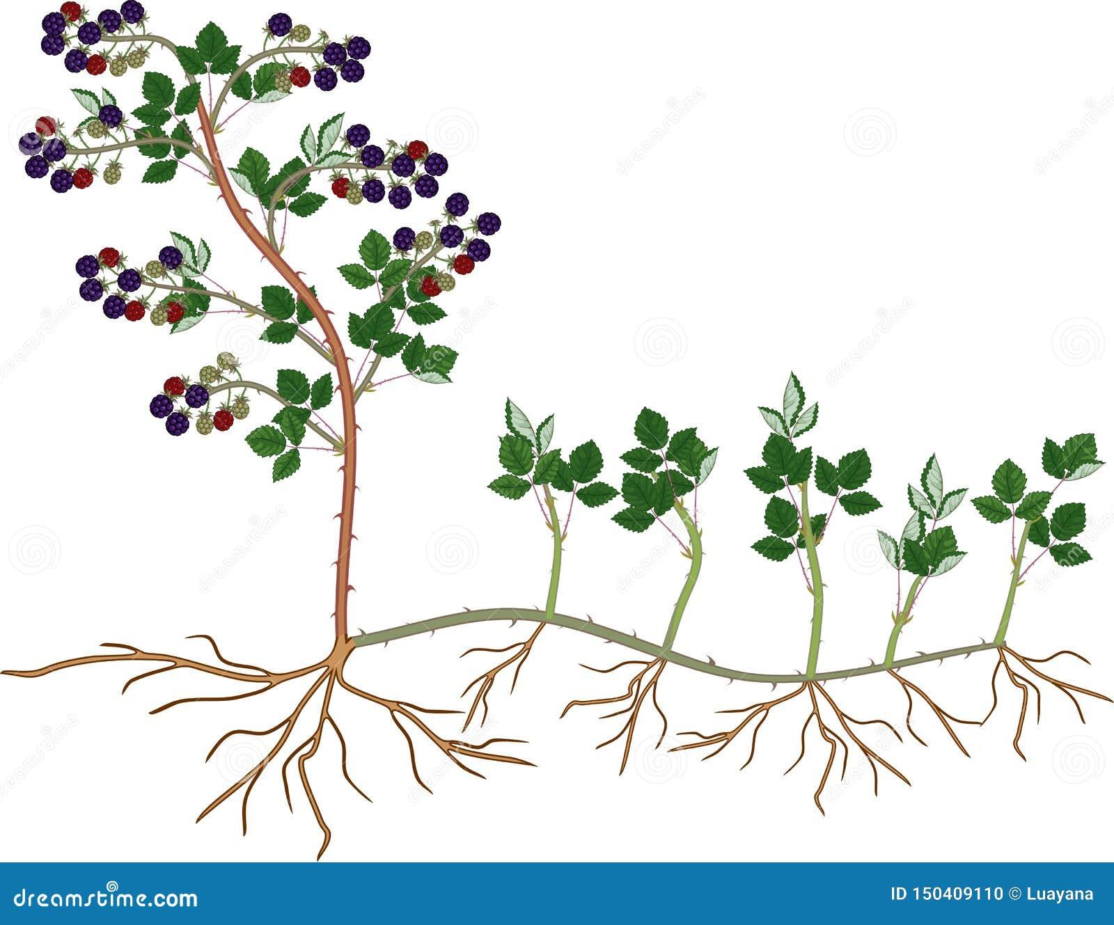 Plant Propagation By Sucker Blackberry Plant Vegetative Reproduction Scheme Stock Vector Illustration Of Propagate Agriculture 150409110