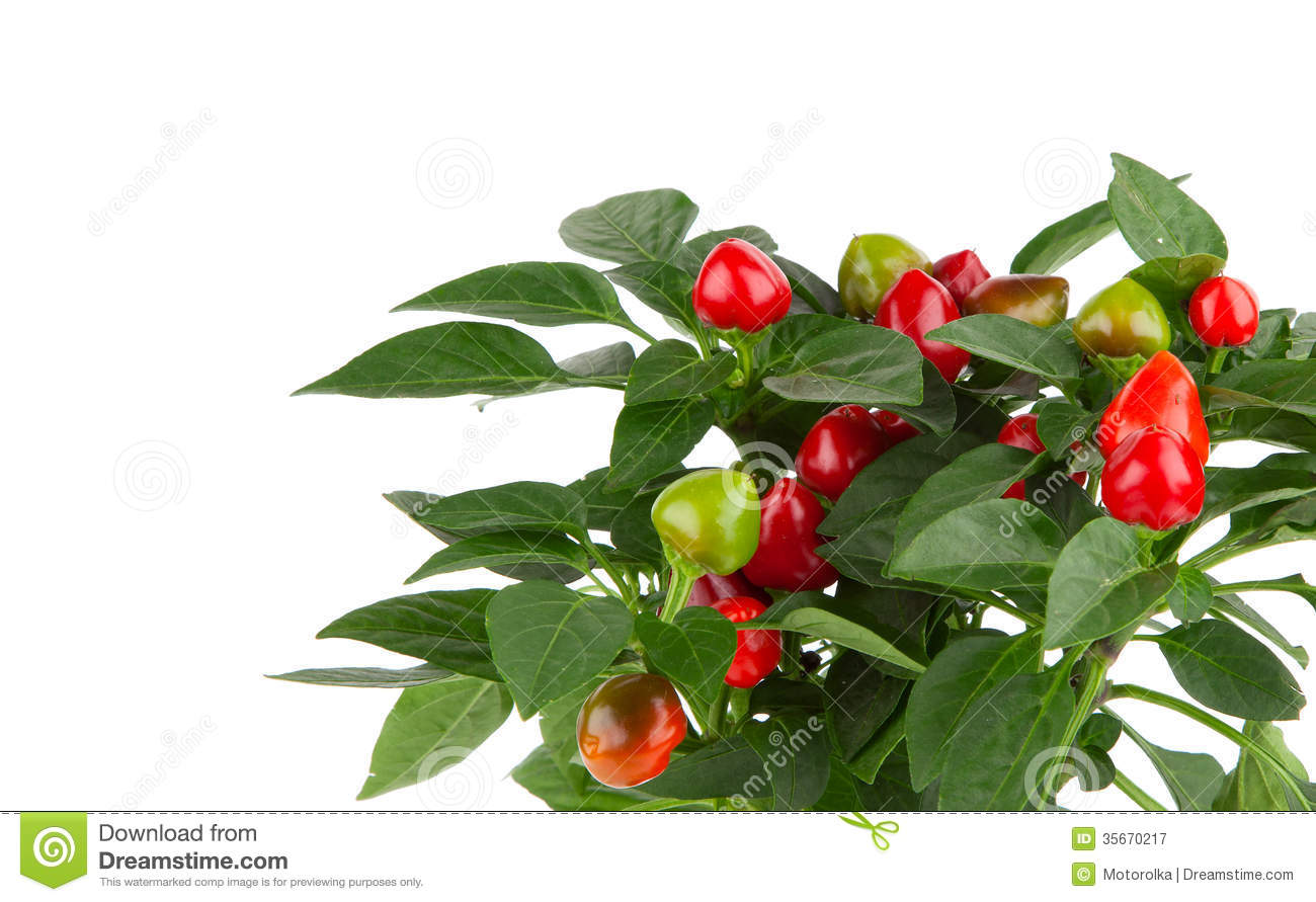 Plant of red hot chili pepper royalty free stock for Pianta di peperoncino