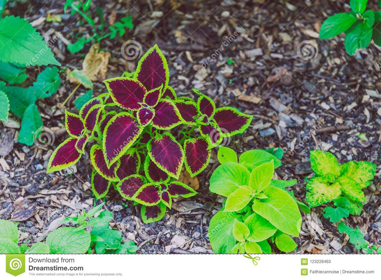 Plant With Red And Purple Leaves And Green Edges Stock Image