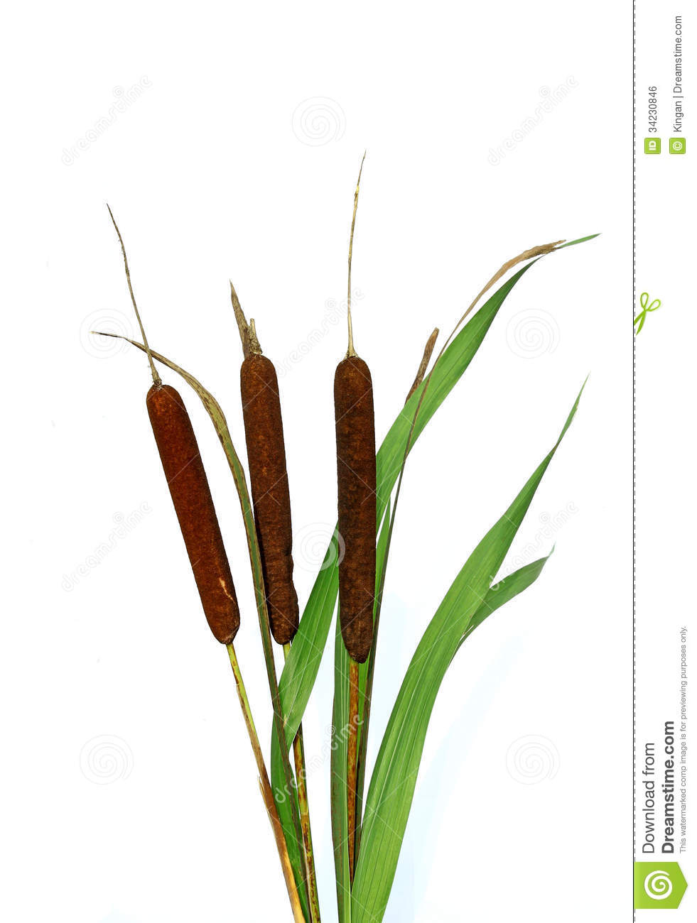 Plant Reeds Isolated Royalty Free Stock Image - Image: 34230846