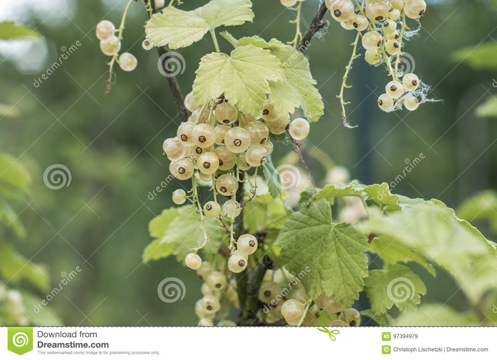 plant ripe white currant berries fruit bio organic backyard