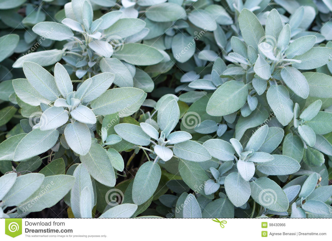 Plant Of Sage, Aromatic Herb Stock Photo - Image of growing, garden ...