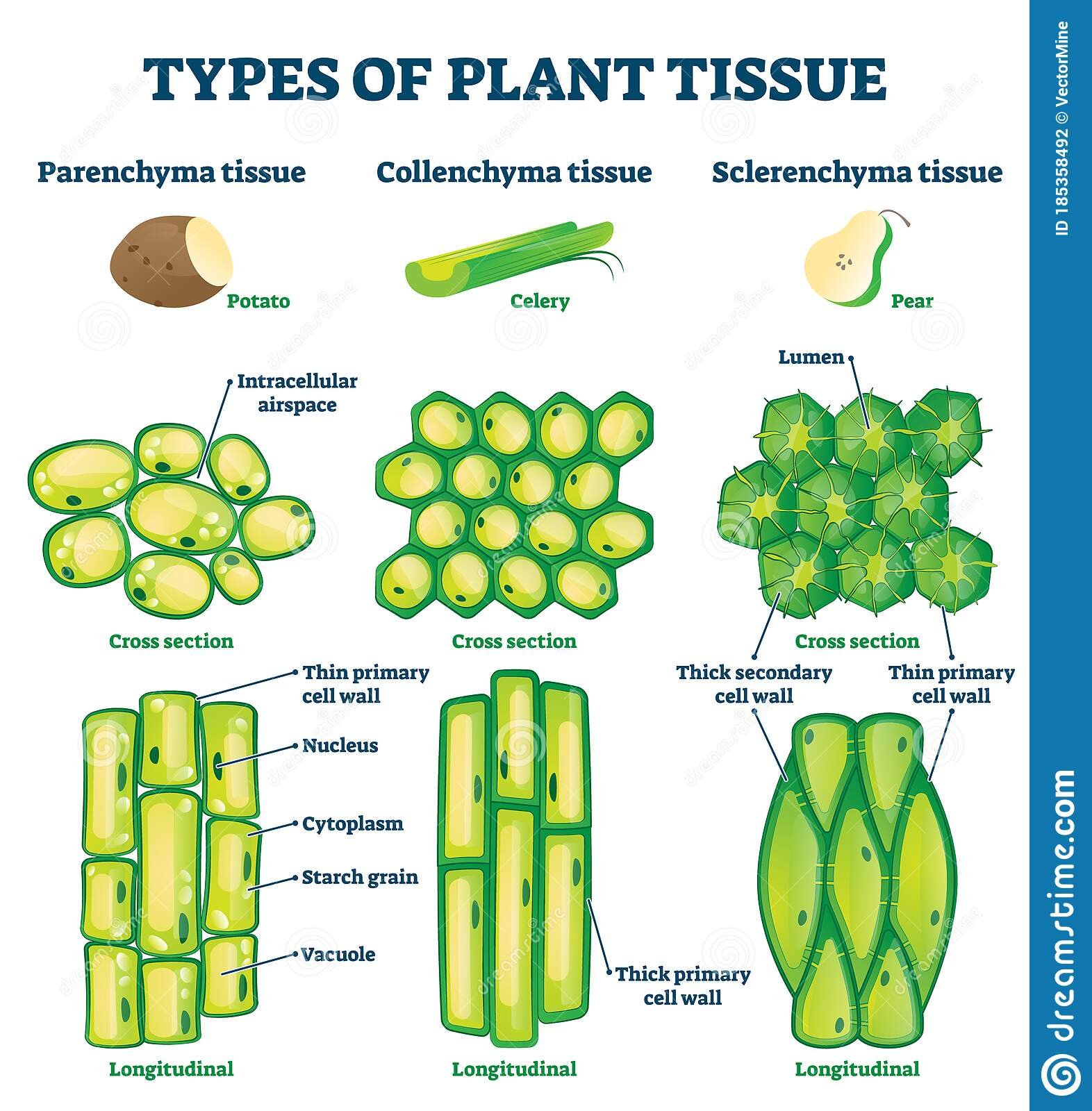 Plant Tissue Types Vector Illustration. Labeled ...