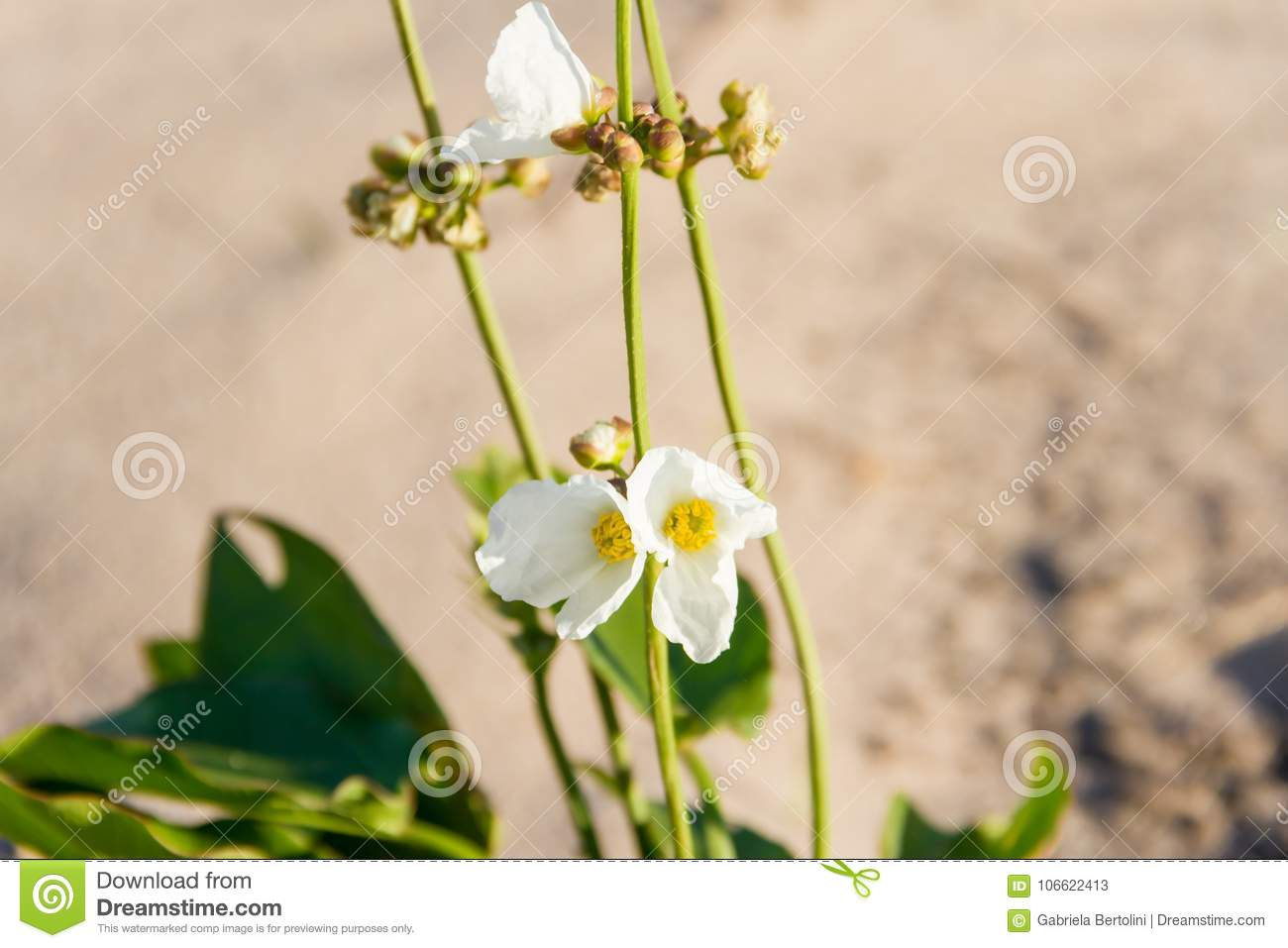 Plant With White And Yellow Flower On The Beach In The City Of