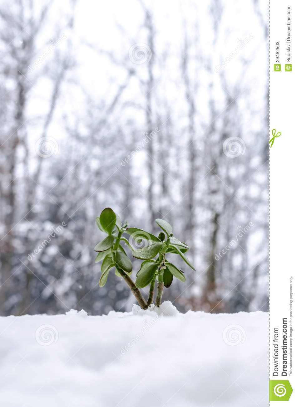Environmental Hope >> Plant In The Winter Growing Out Of Snow Stock Image - Image: 29482503