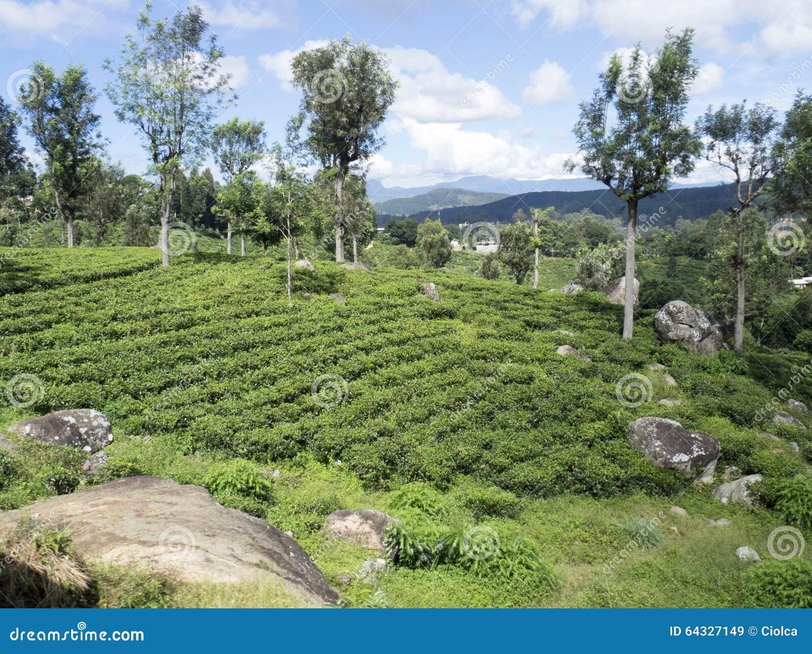 Plantação de chá em Sri Lanka