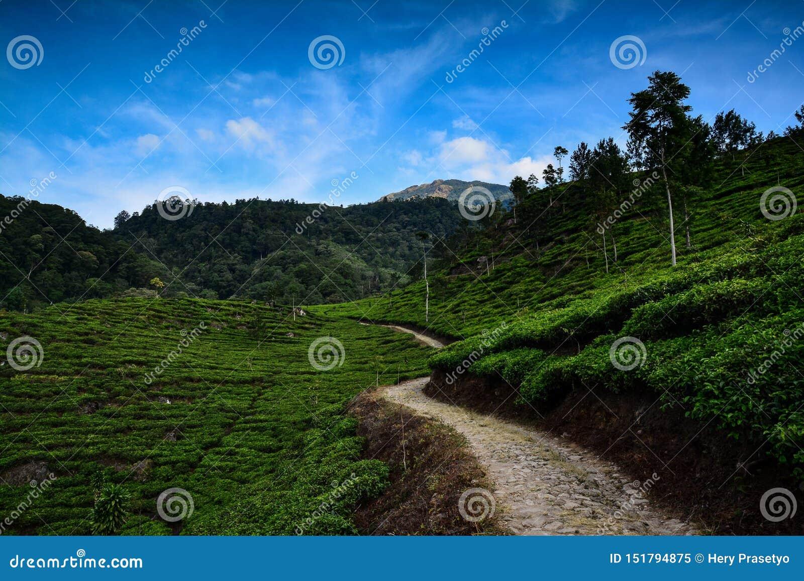 Plantação de chá na montanha