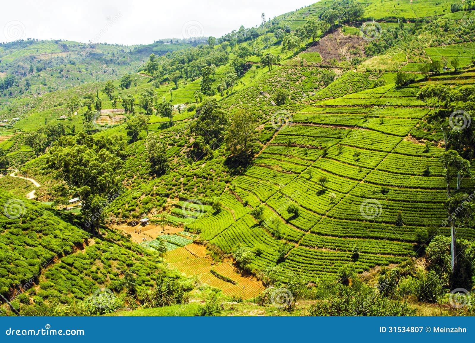Plantação de chá nas montanhas de Nuwara Eliya, Sri Lanka