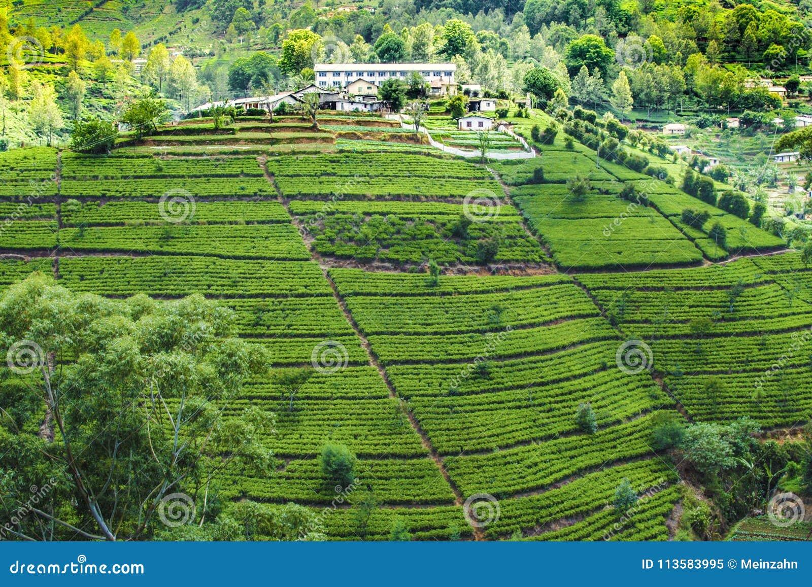Plantação de chá verde em Sri Lanka