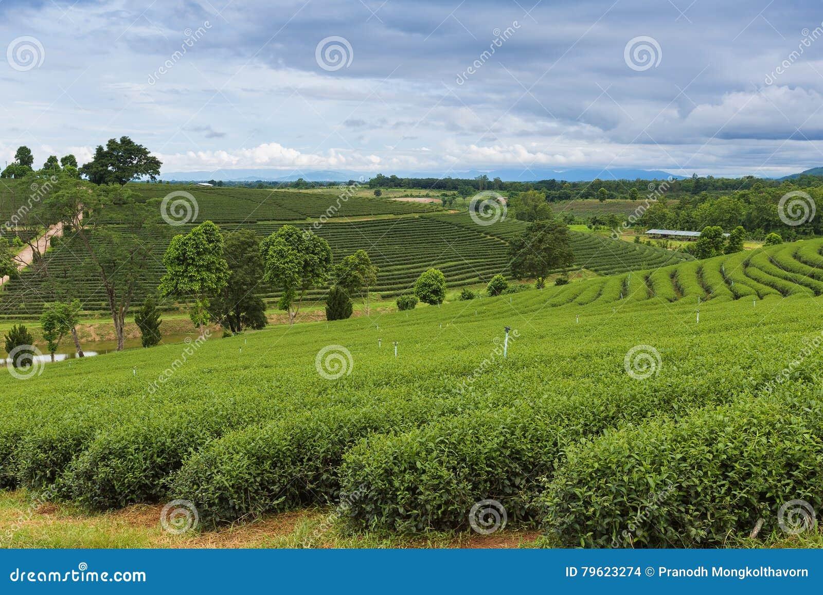 Plantação de chá verde sobre montanhas