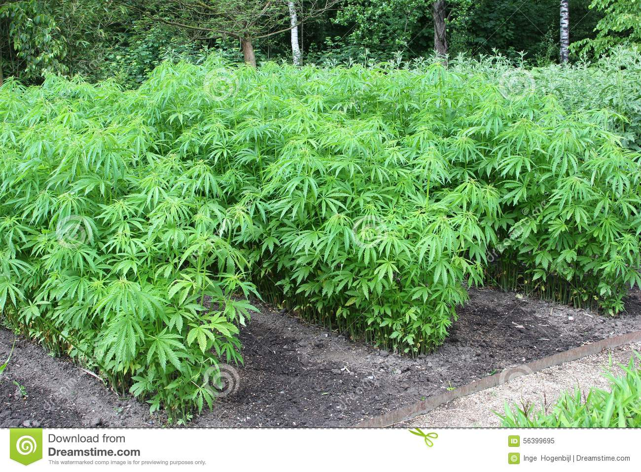 Planta o de marijuana do cannabis imagem de stock for Weed plantation exterieur
