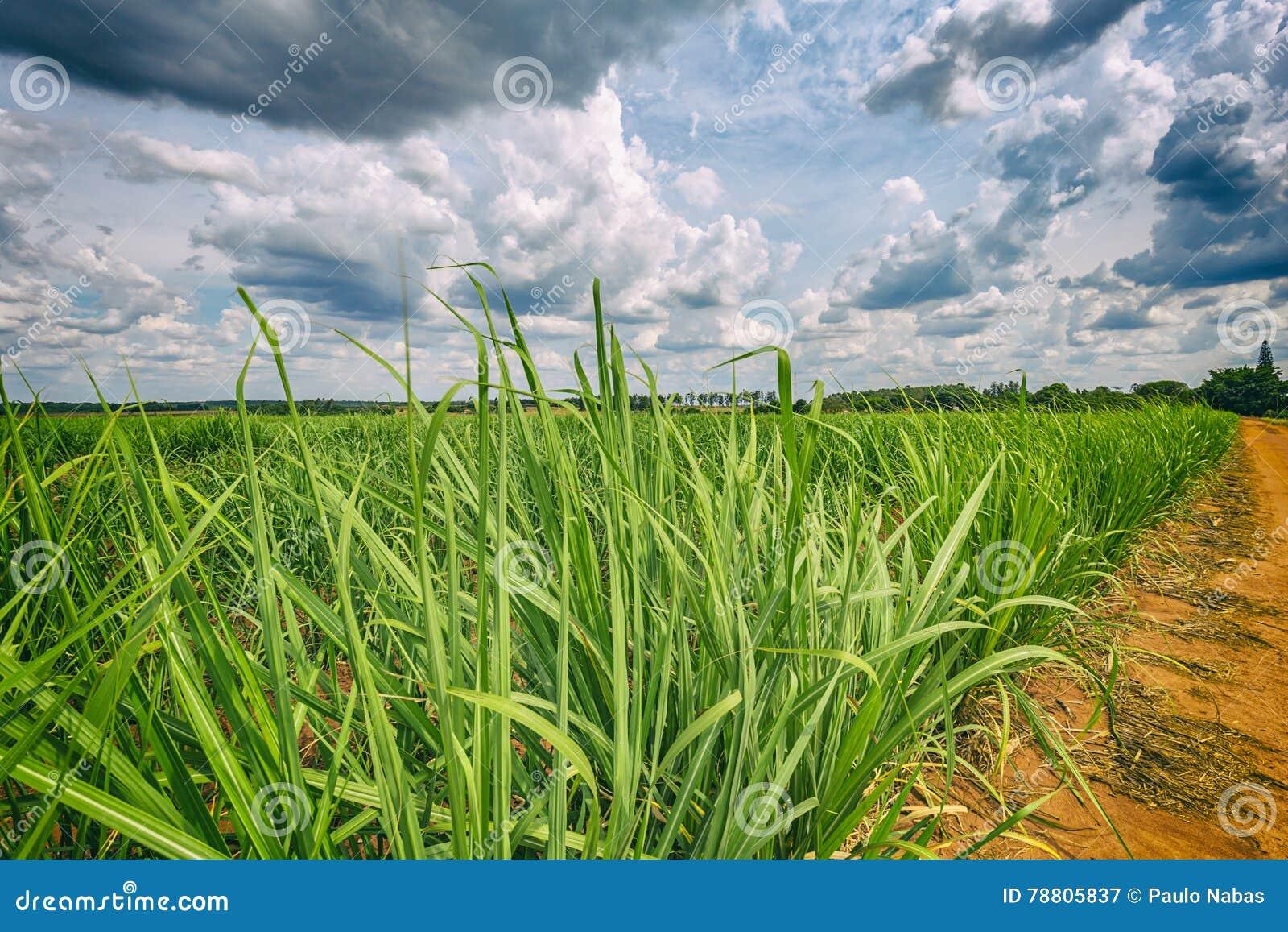 Plantação do cana-de-açúcar e céu nebuloso - coutryside de Brasil
