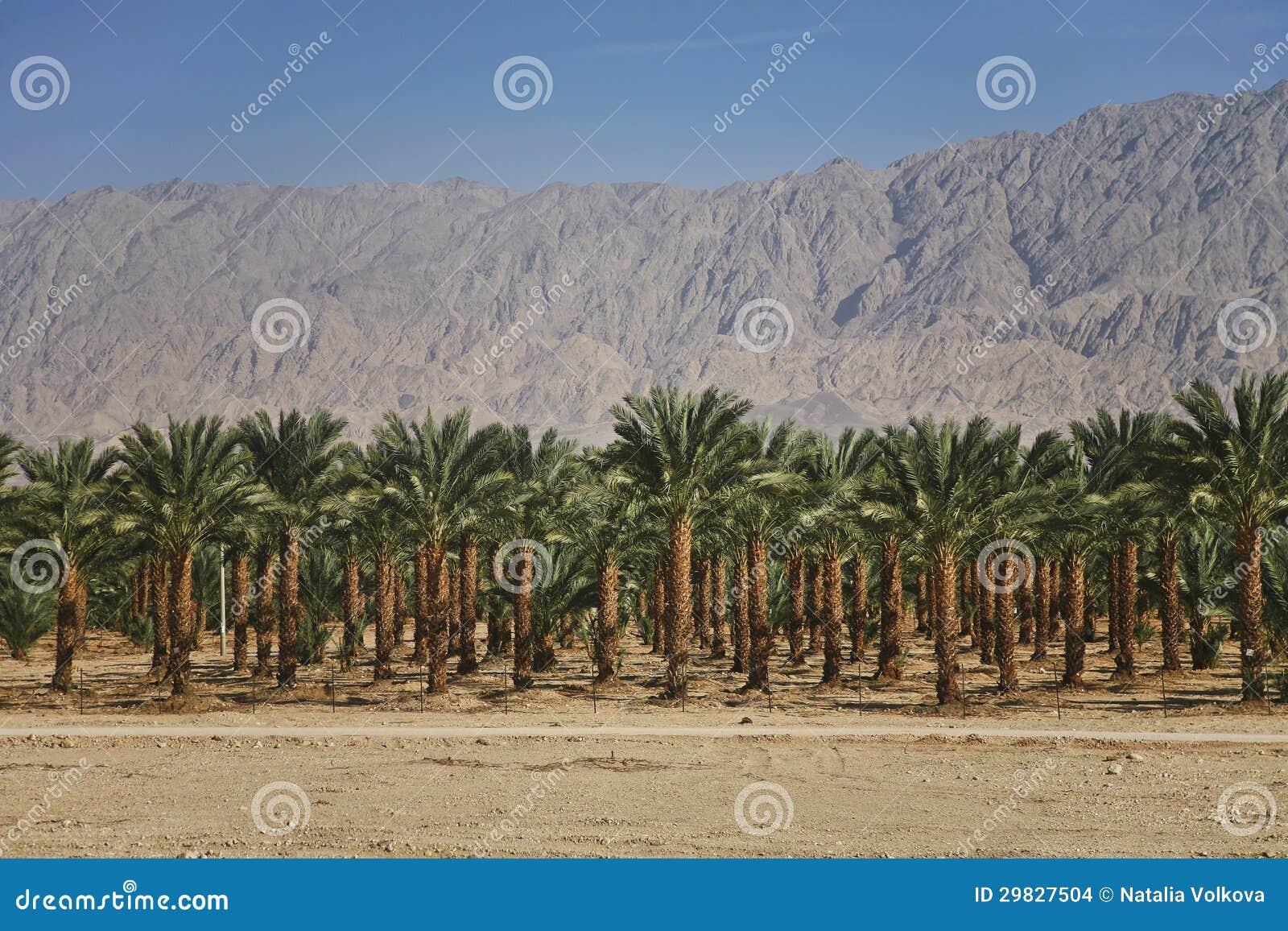 Plantações das palmas de datas em Israel