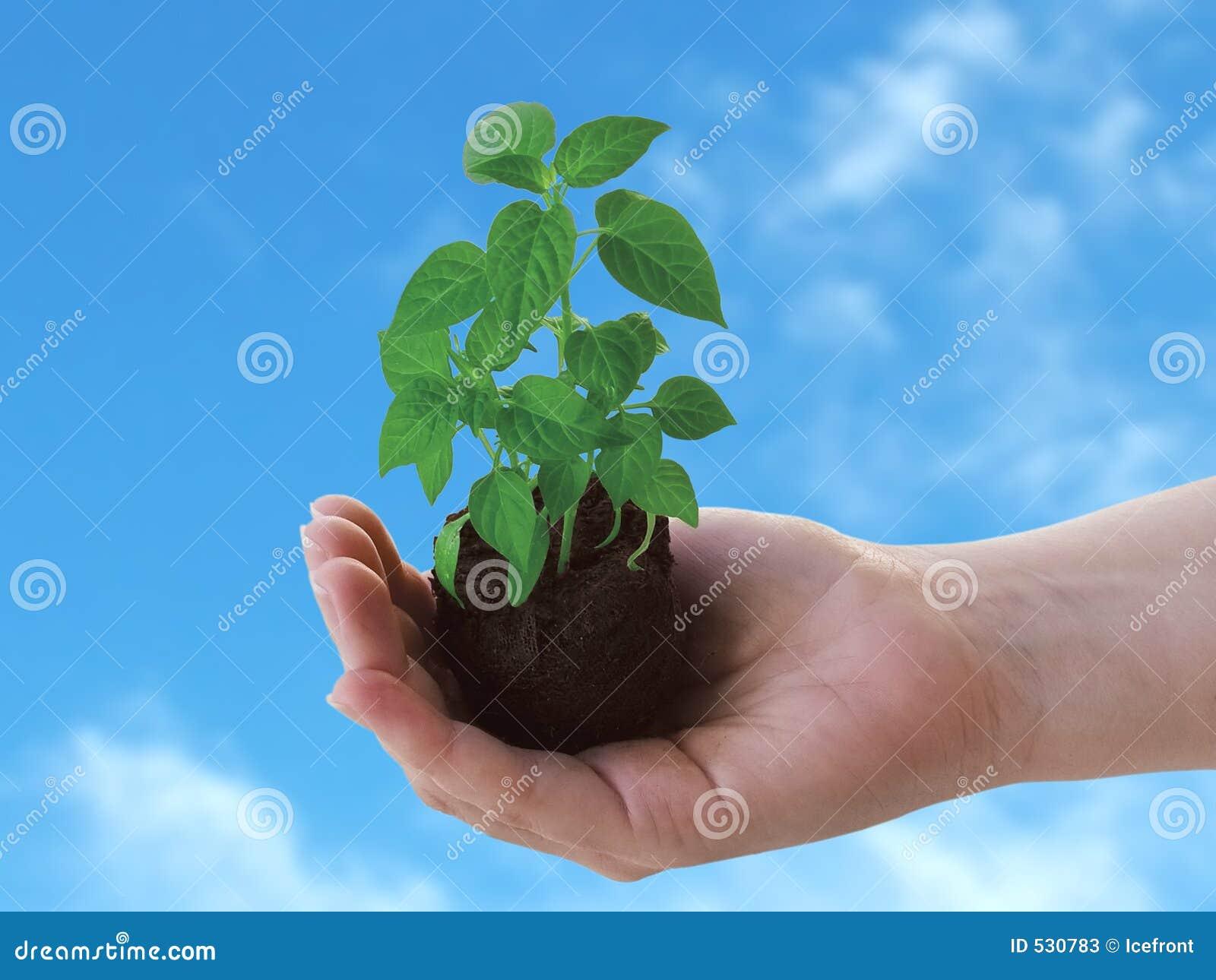 Planta à disposicão