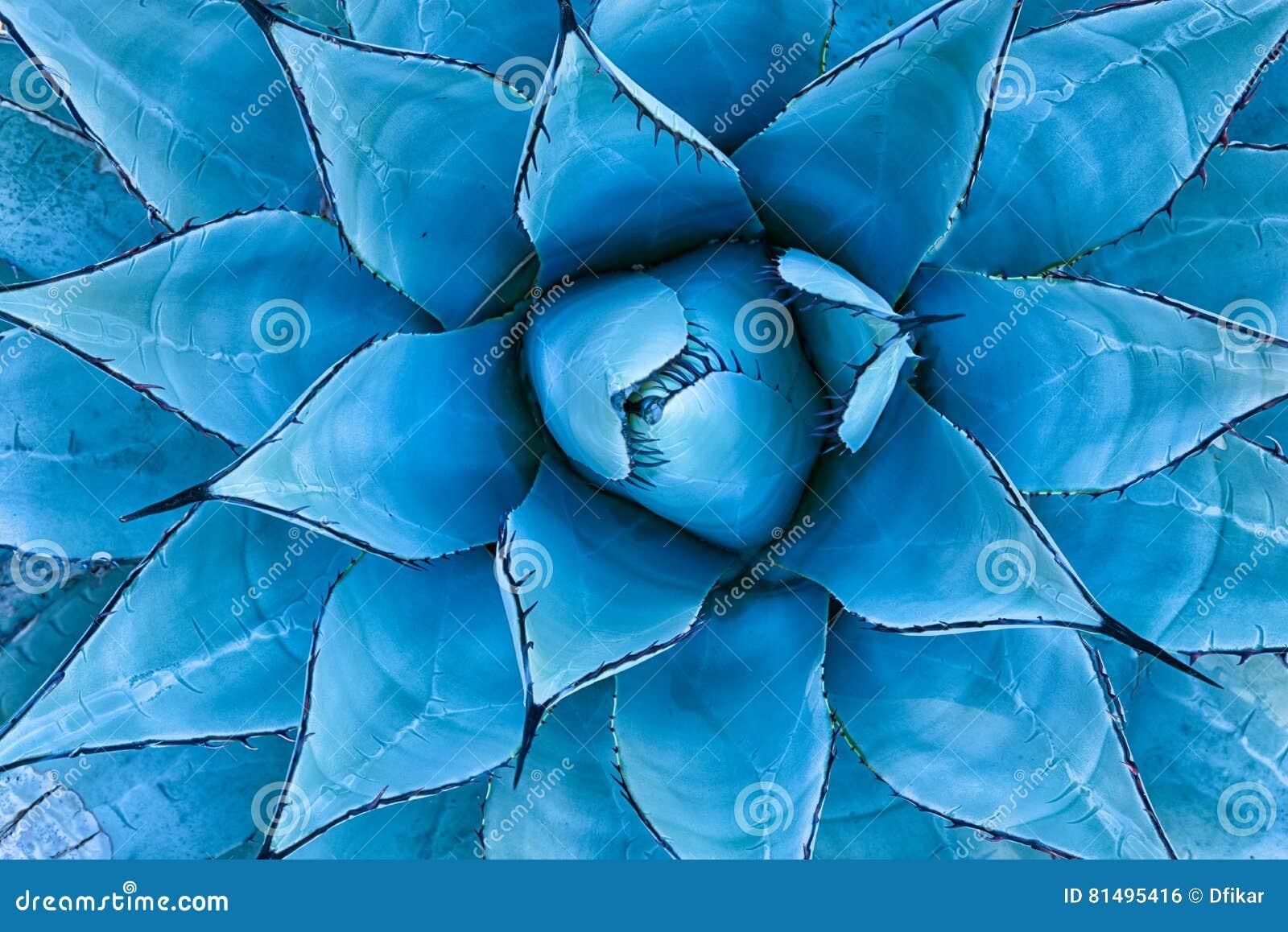 Planta azul da agave